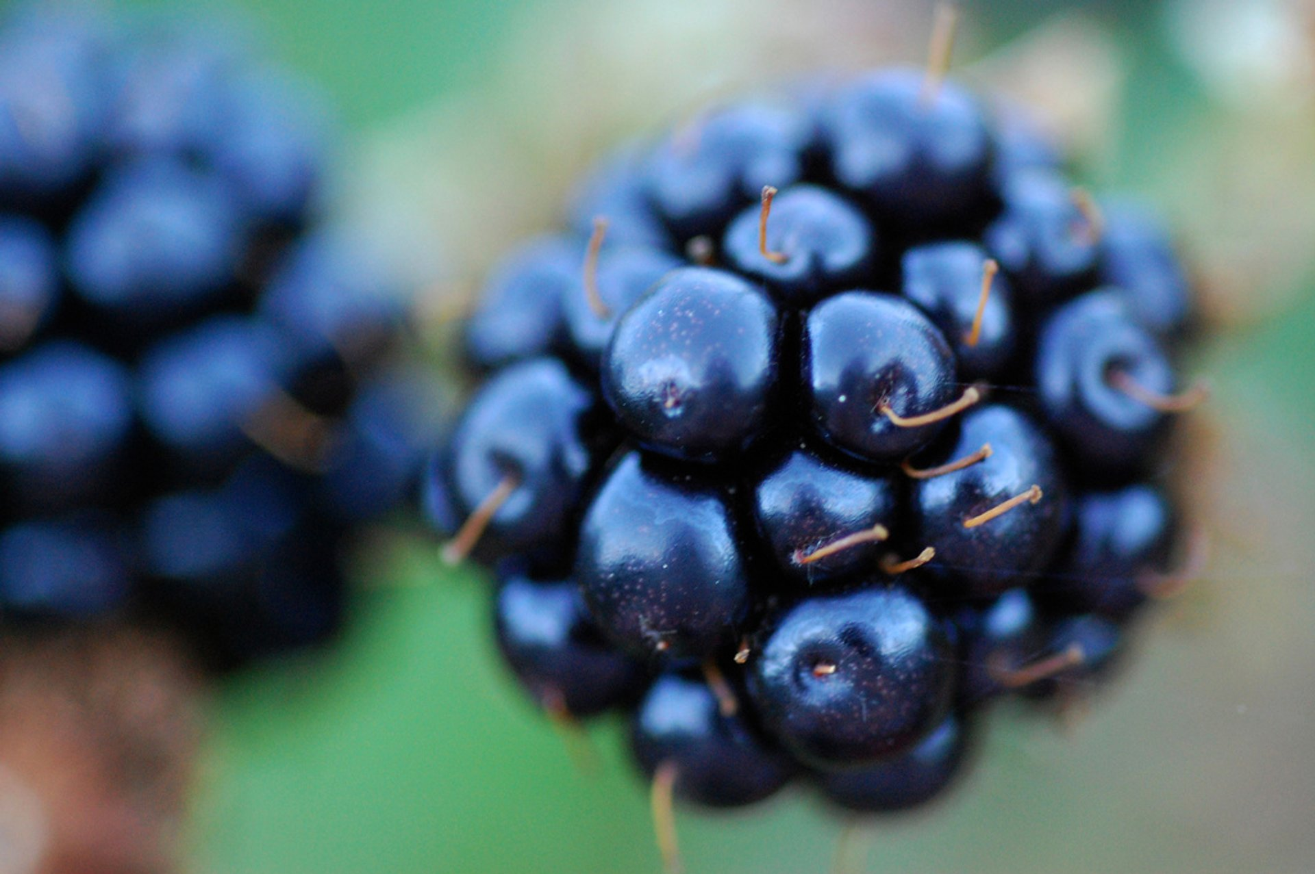 Blackberries in Norway 2020 - Best Time