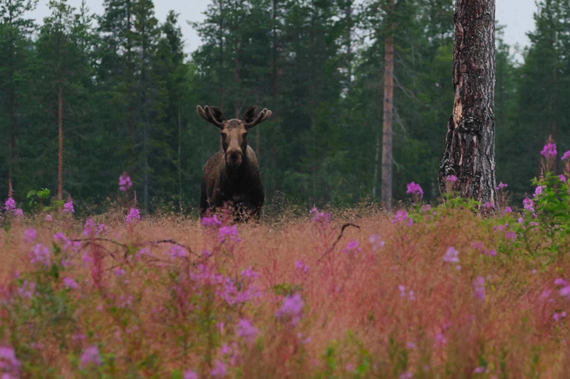 Best time to see Flowers of Lapland in Sweden 2020
