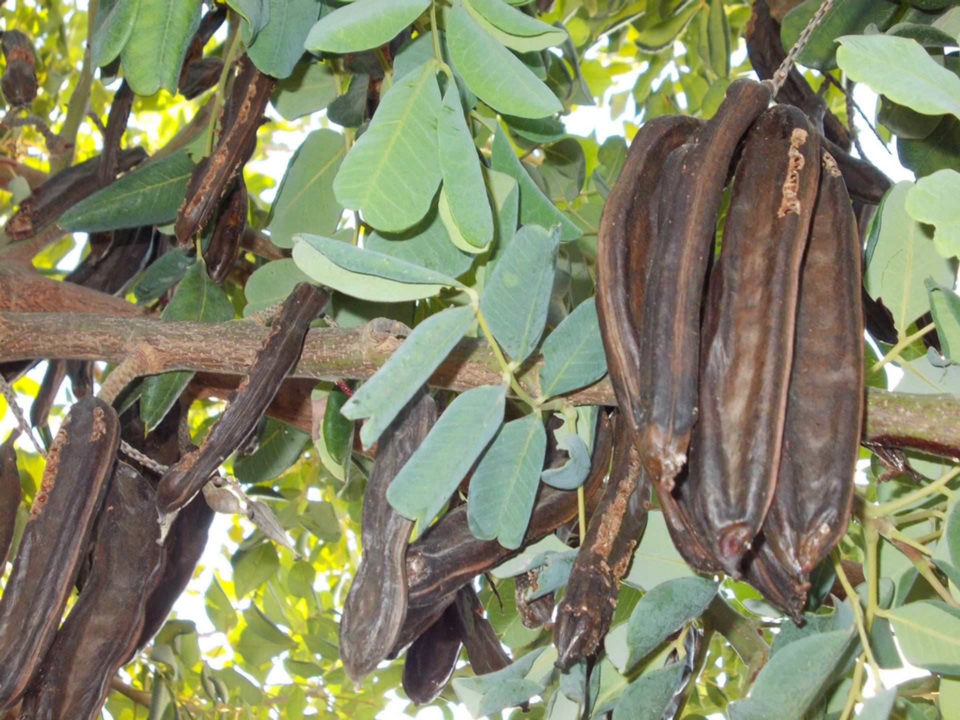 Carob Harvest in Cyprus - Best Season 2020