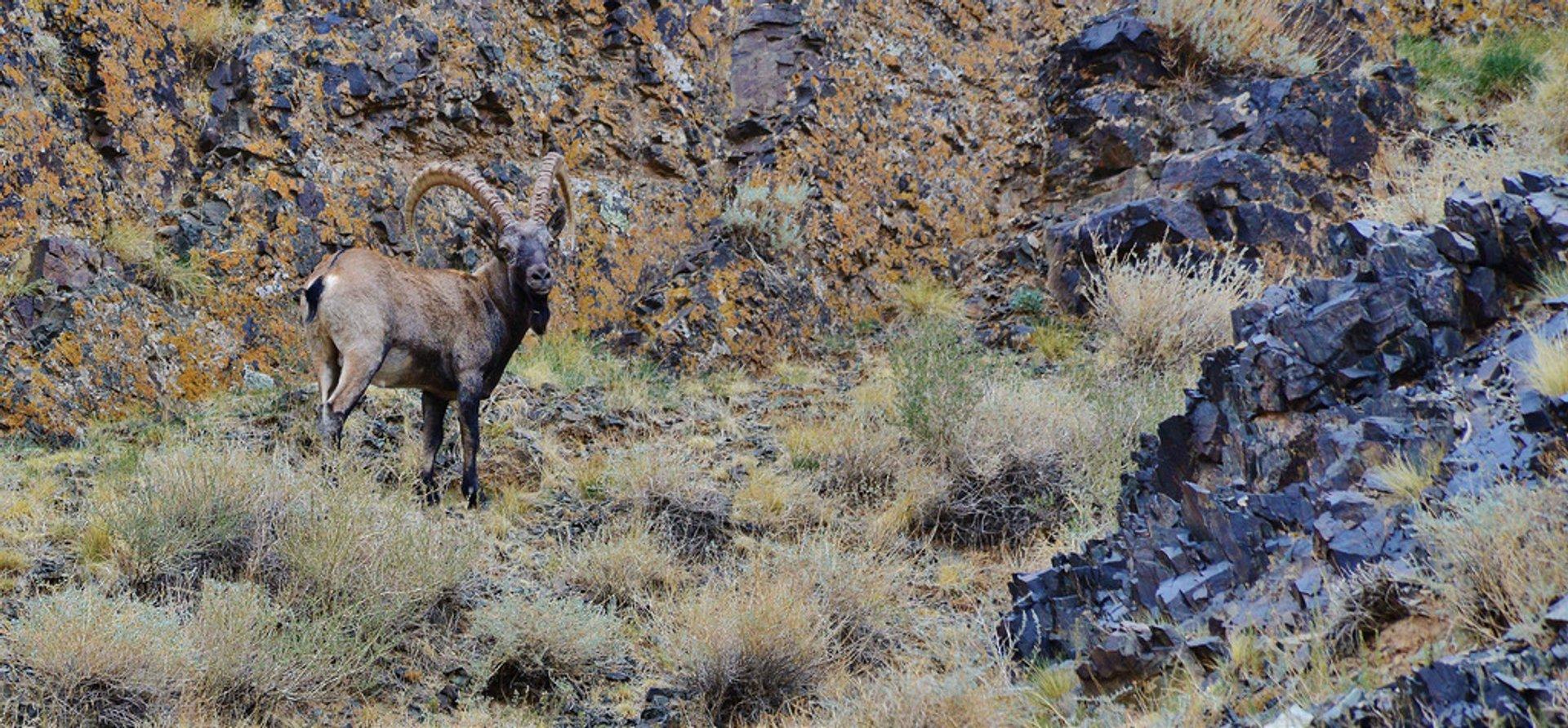Ibex Tost Uul Gobi Desert Mongolia 2020