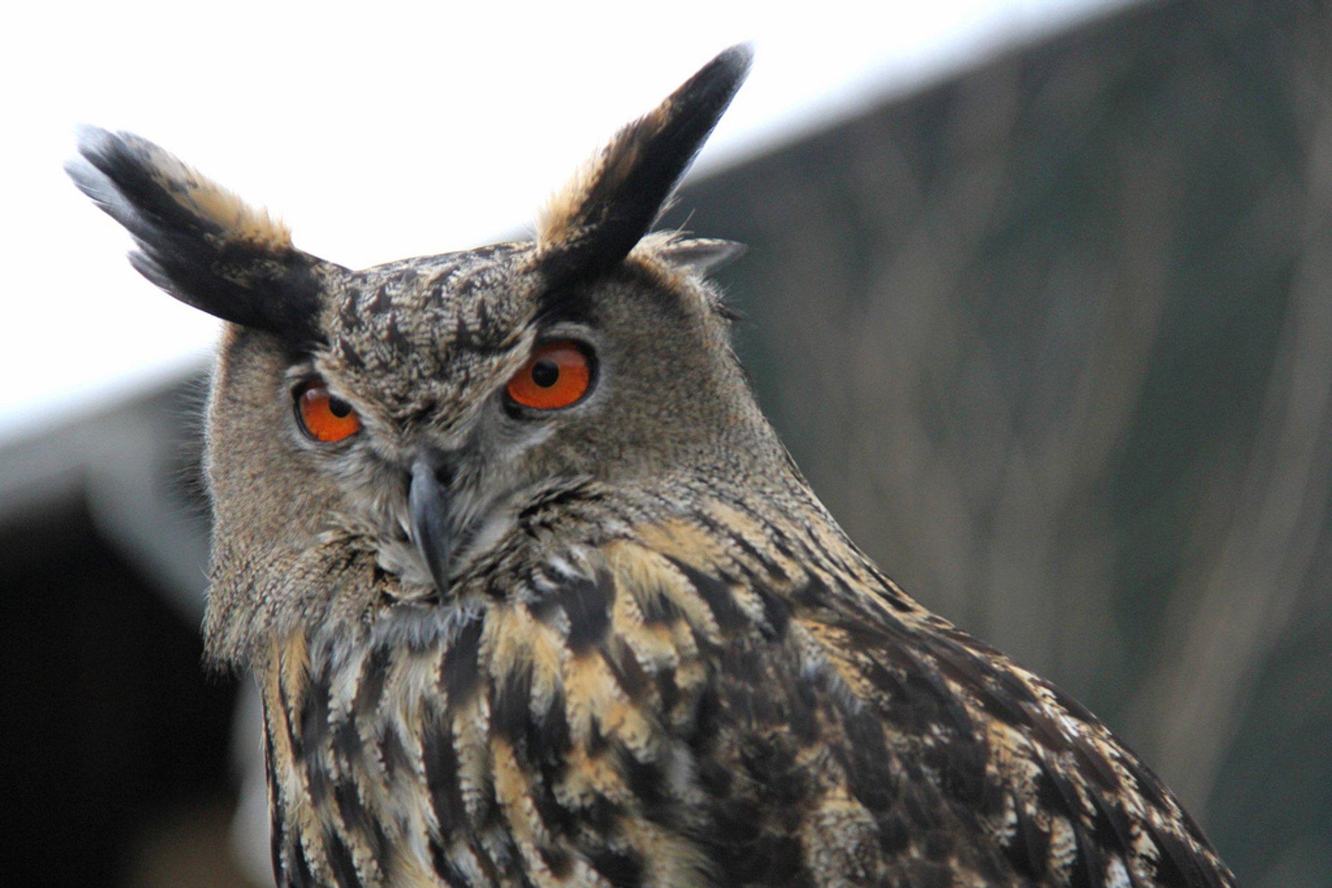 Oehoe, Bubo, Eagle-owl 2019