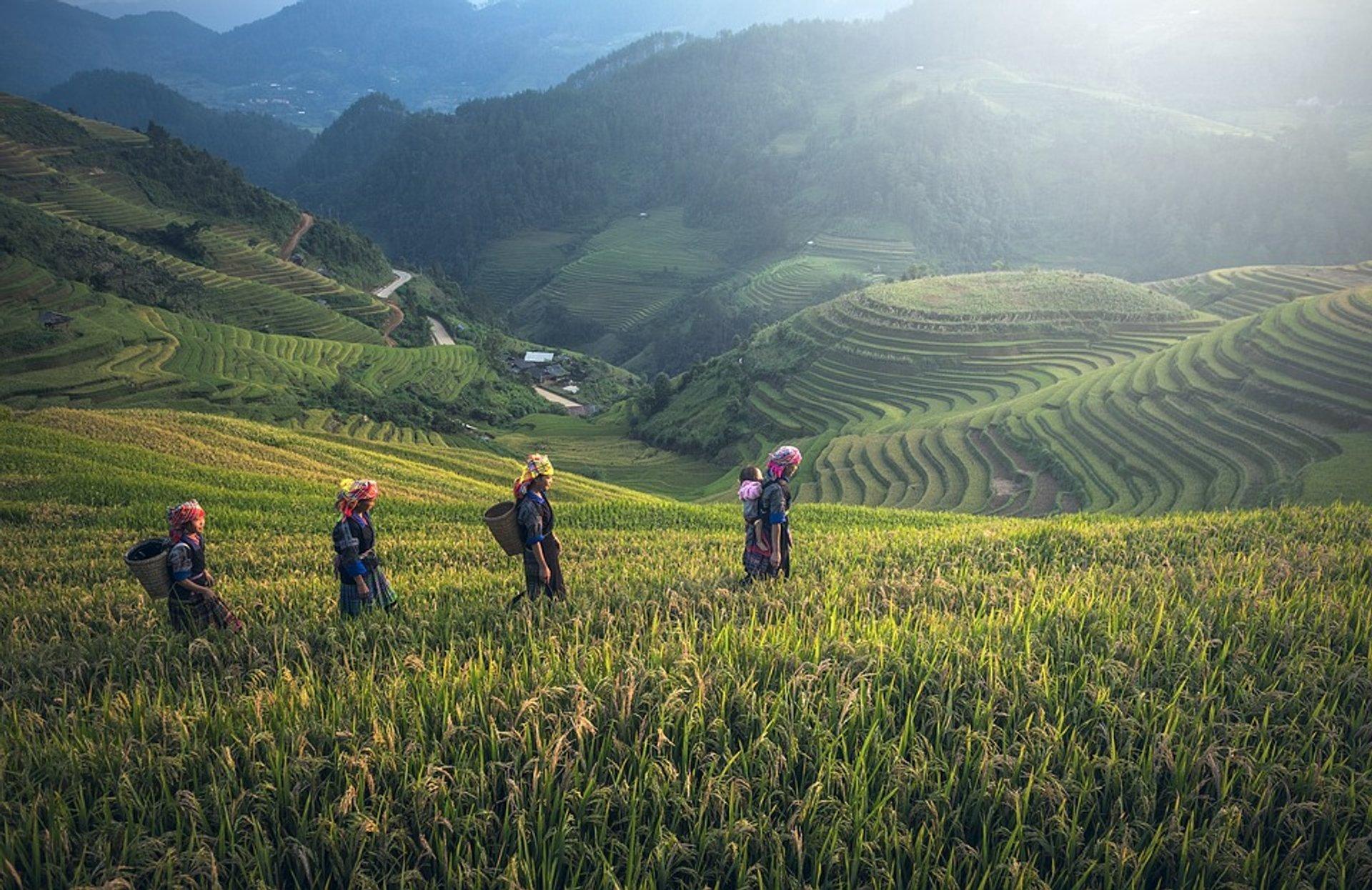 Rice Harvest in Myanmar - Best Time