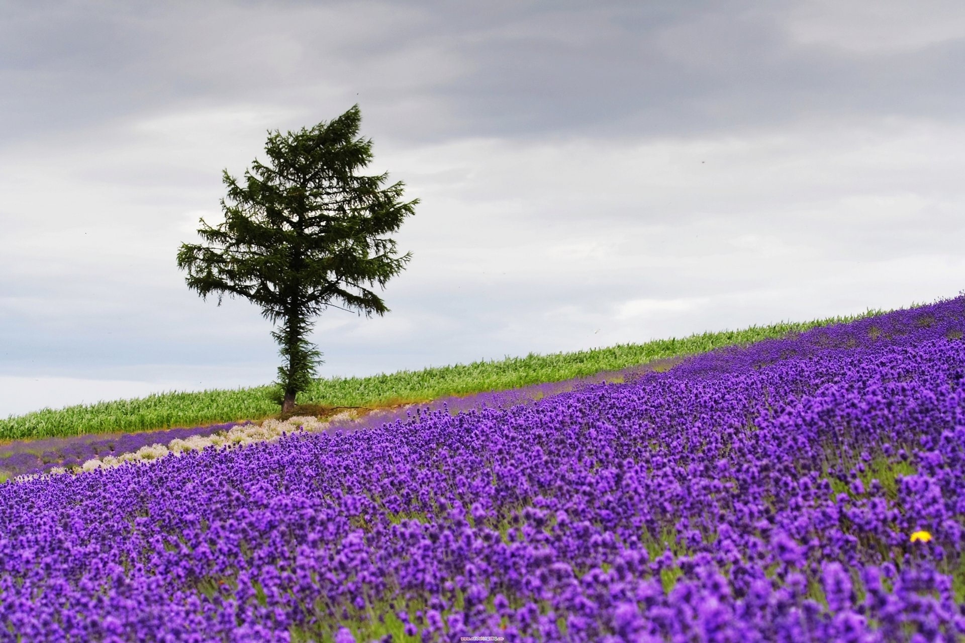 Lavender in Japan - Best Season