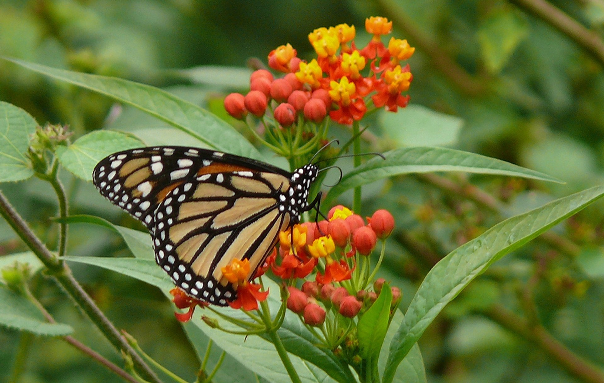 Monarch Butterfly Migration in Cuba - Best Season 2020
