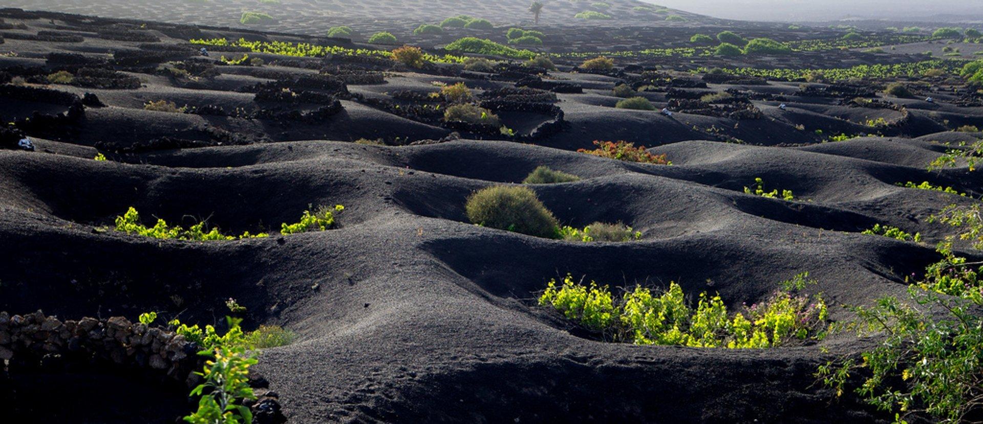 Lanzarote Volcanic Vineyards in Canary Islands - Best Season 2020