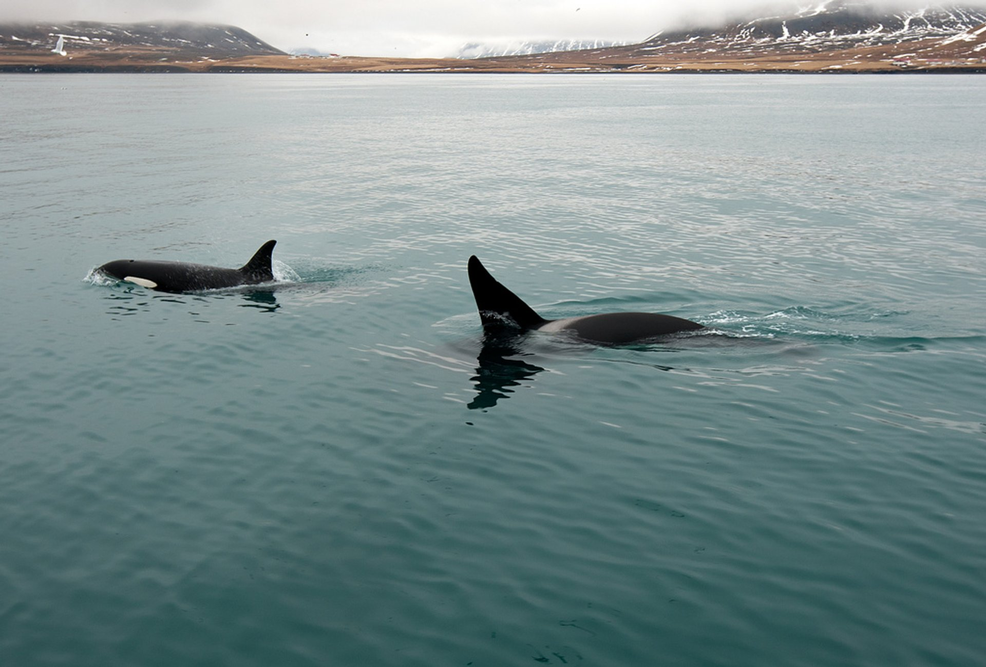Best time for Orca (Killer) Whale Watching in Iceland 2020