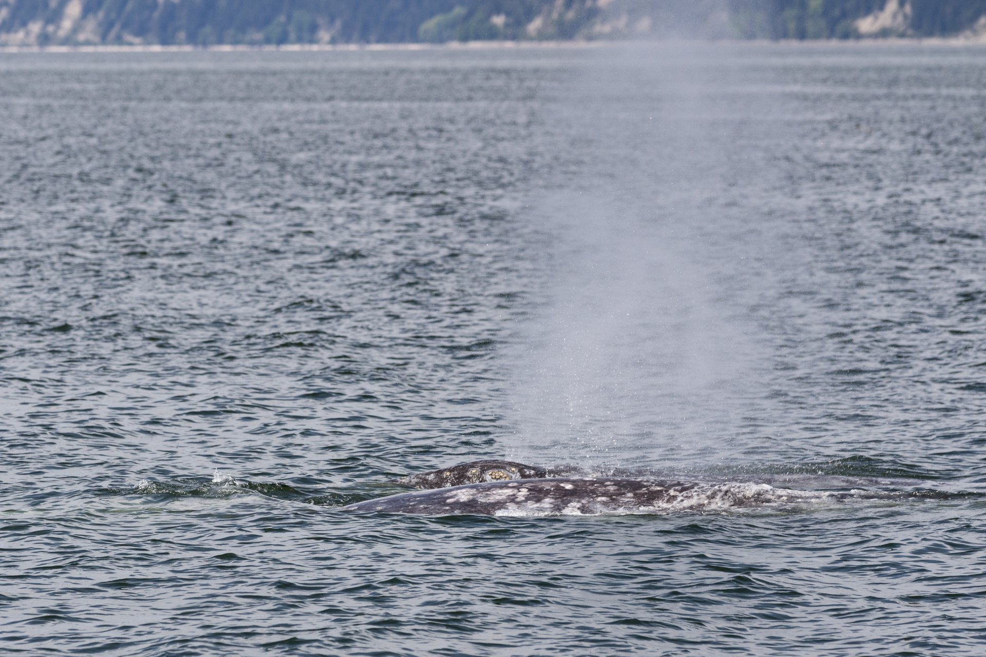 Gray Whales near Everett in Seattle 2020 - Best Time