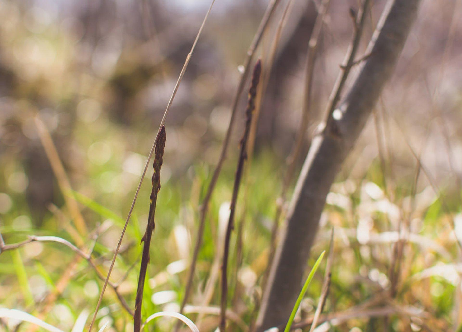 Asparagus Season in Croatia - Best Season 2020