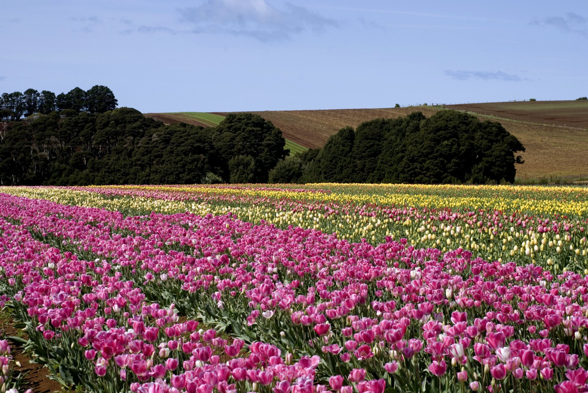 Blooming Tulips in Tasmania - Best Season
