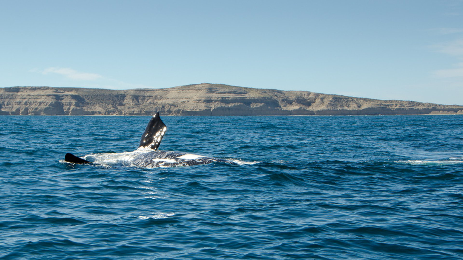 Southern Right Whale Watching in Argentina - Best Season 2020