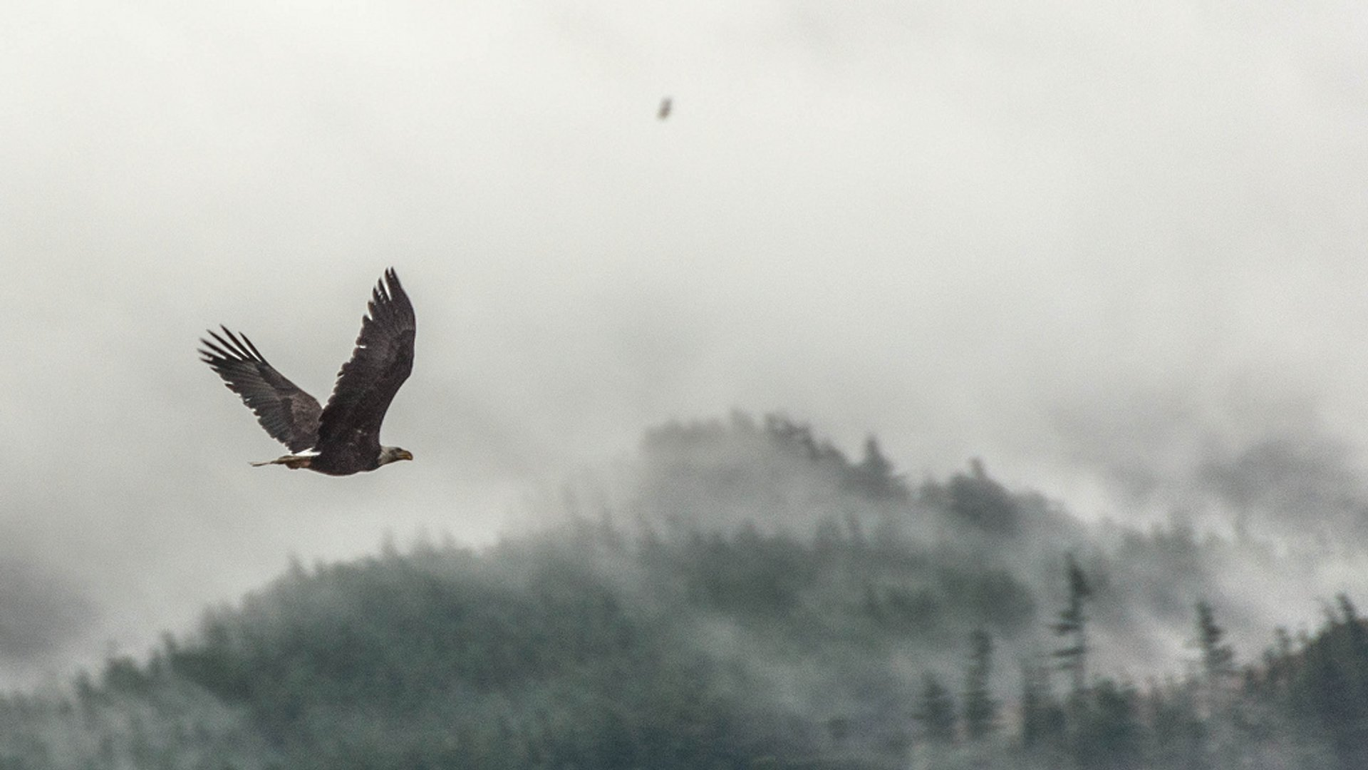Bald Eagle Count in Vancouver - Best Season 2019