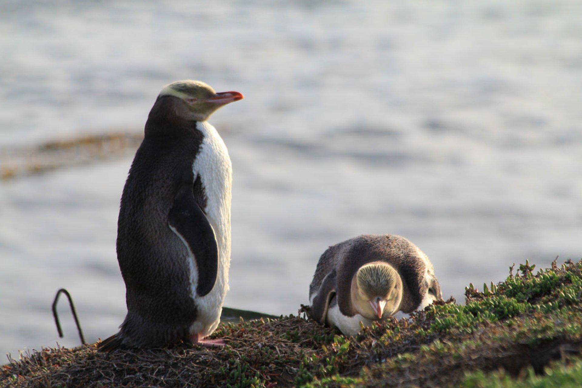 Hoiho–Yellow-Eyed Penguin in New Zealand - Best Season 2020