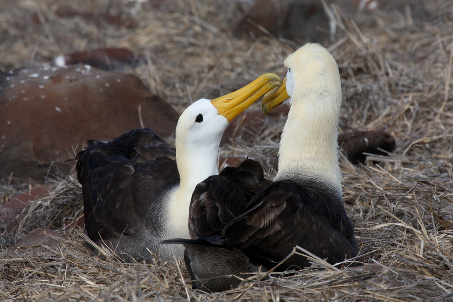 Waved Albatross in Galapagos Islands - Best Season 2020