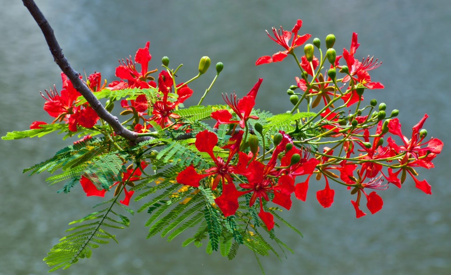 Flamboyant Blooming Season in Vietnam 2020 - Best Time