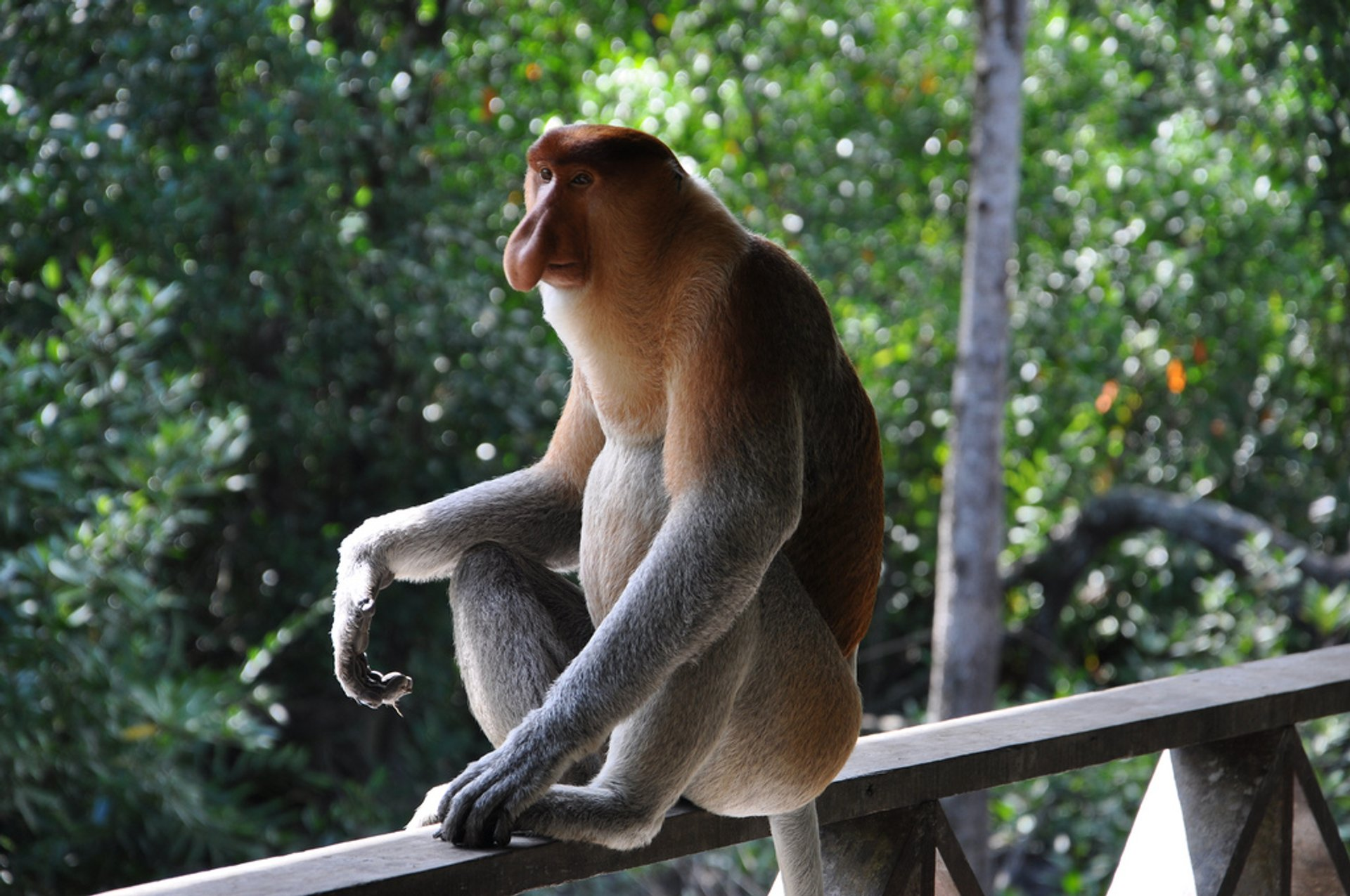 Proboscis Monkeys in Borneo 2019 - Best Time