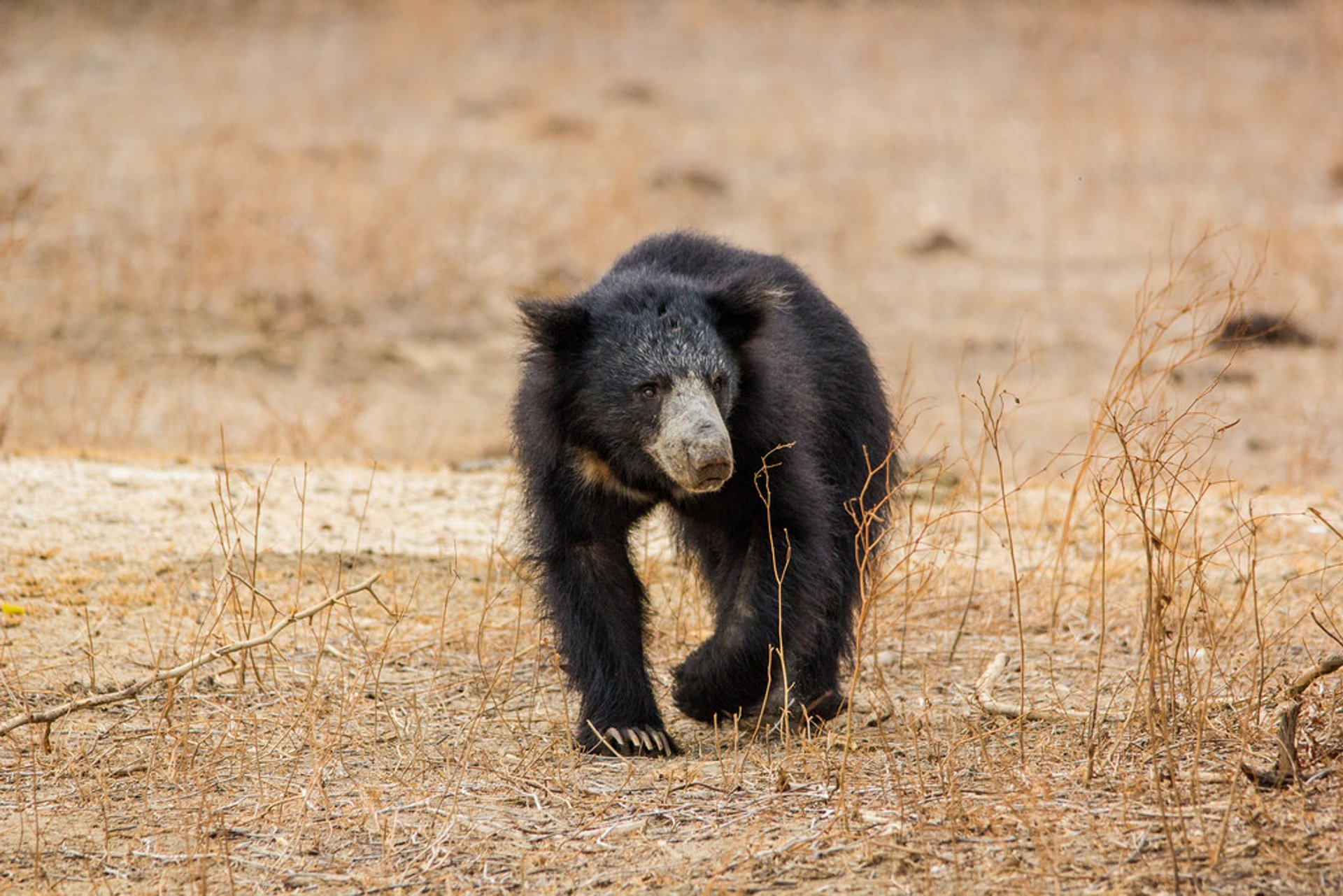 Sloth Bear in Sri Lanka 2019 - Best Time