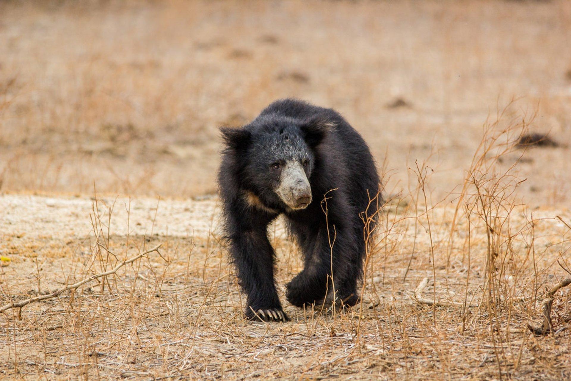 Sloth Bear in Sri Lanka 2020 - Best Time
