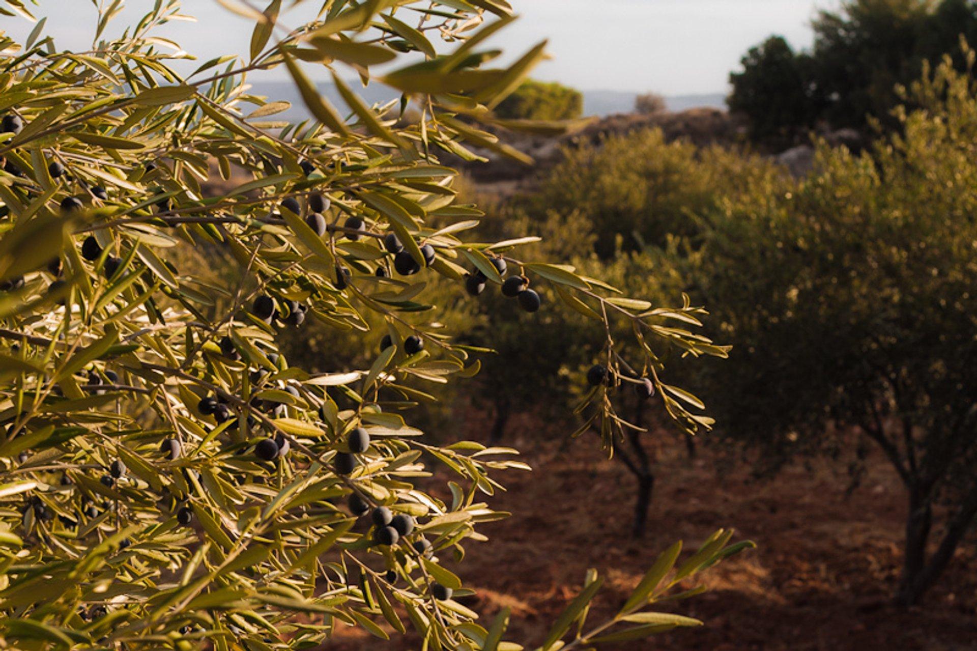 Olive Harvest in Jordan - Best Season 2020