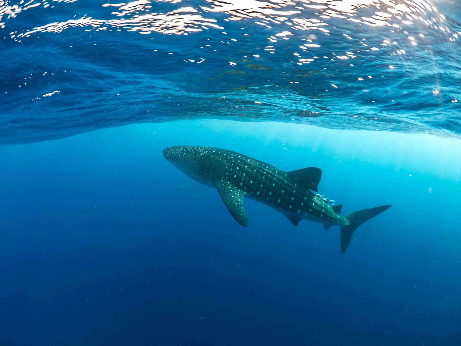 Whale Shark Season around Utila in Honduras 2019 - Best Time