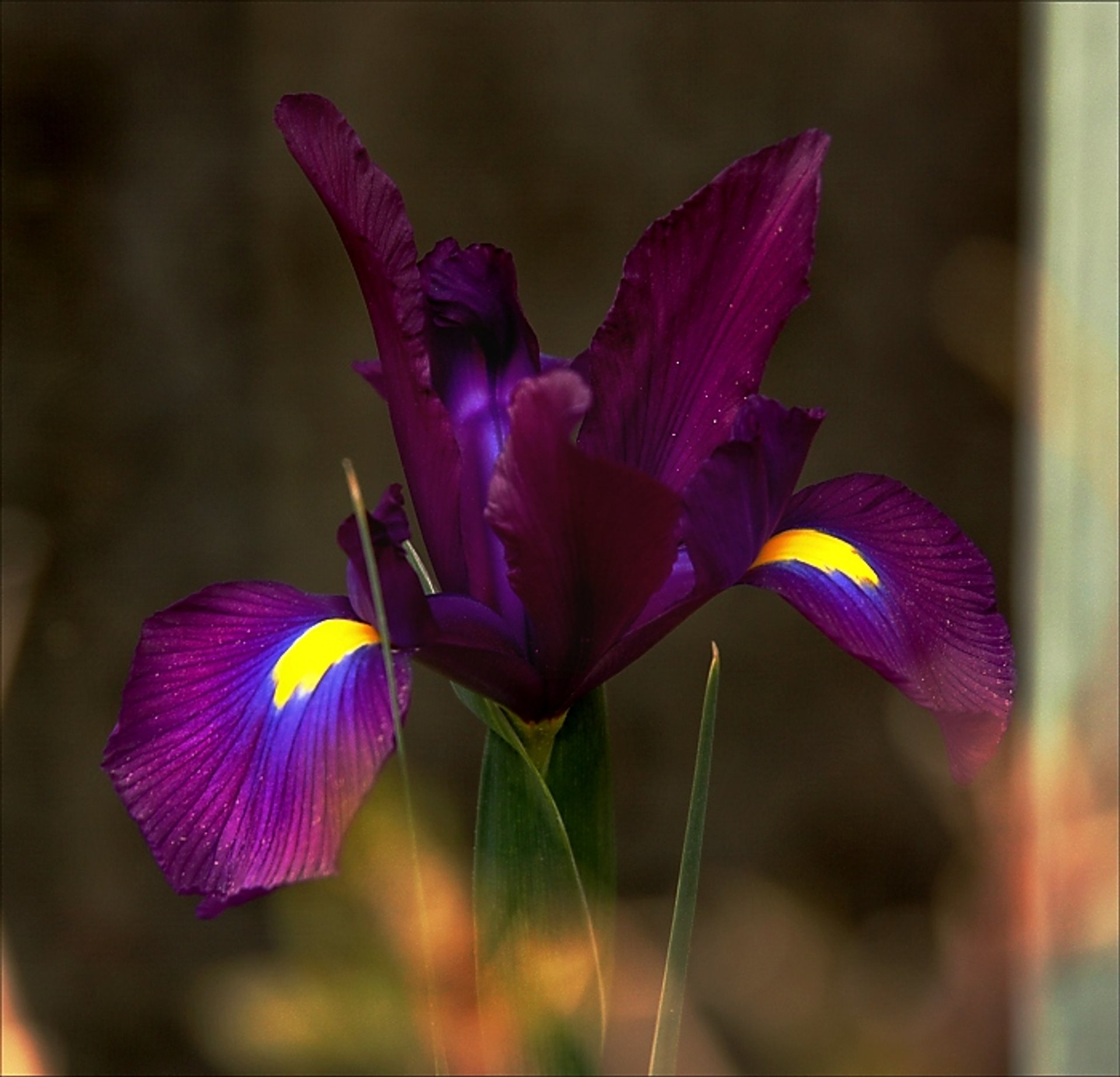 Black iris flower in Amman, Jordan 2020
