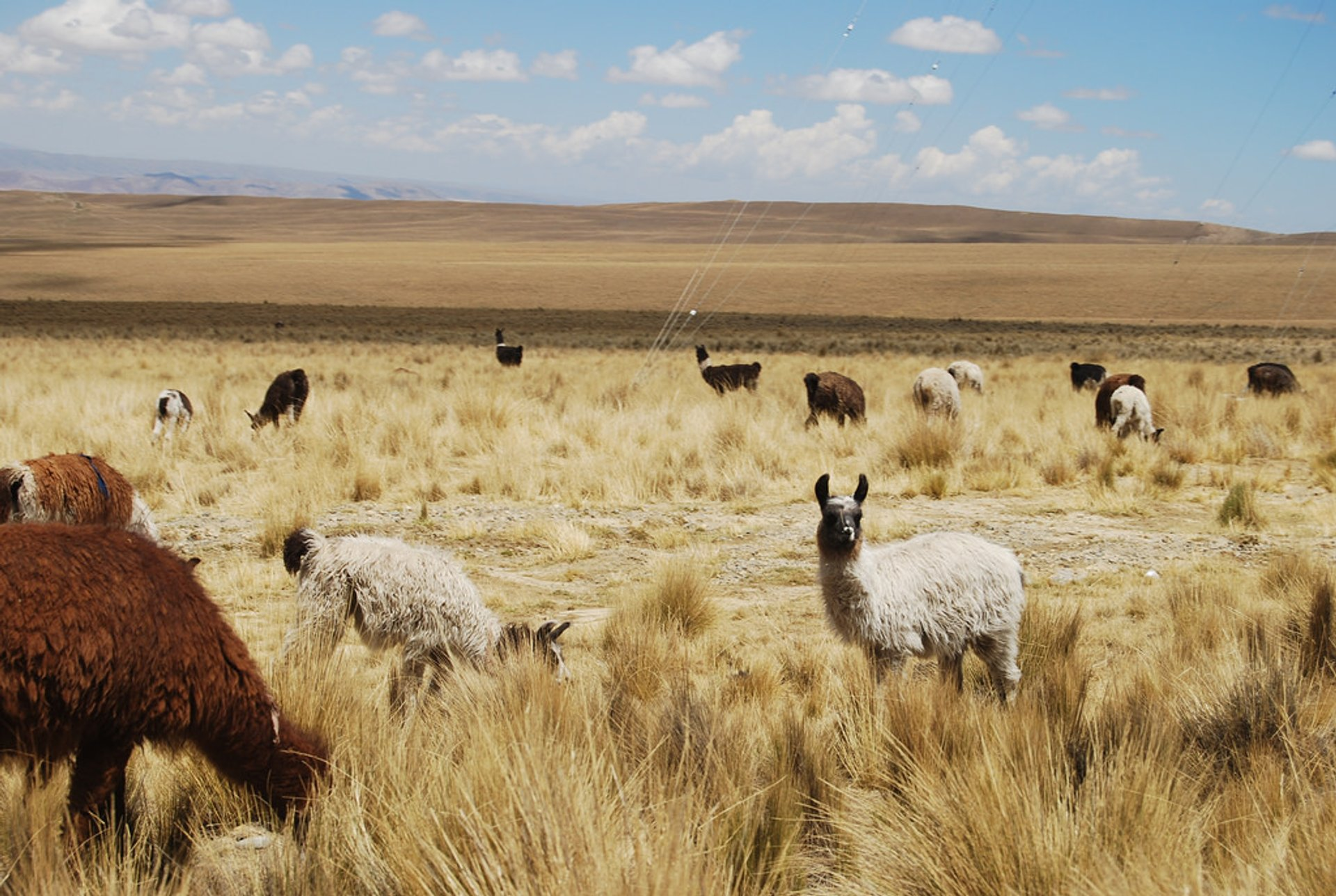 Best time to see Llamas in Bolivia 2019