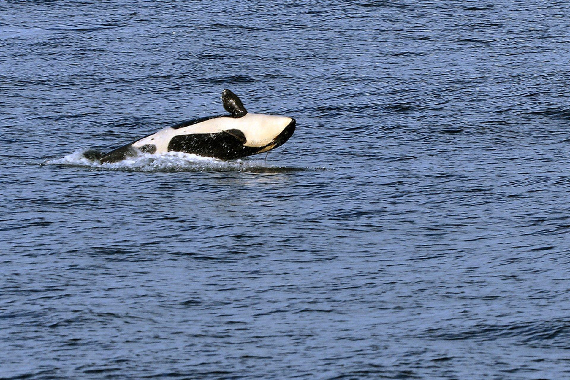 Whale Watching in Seattle - Best Season 2019