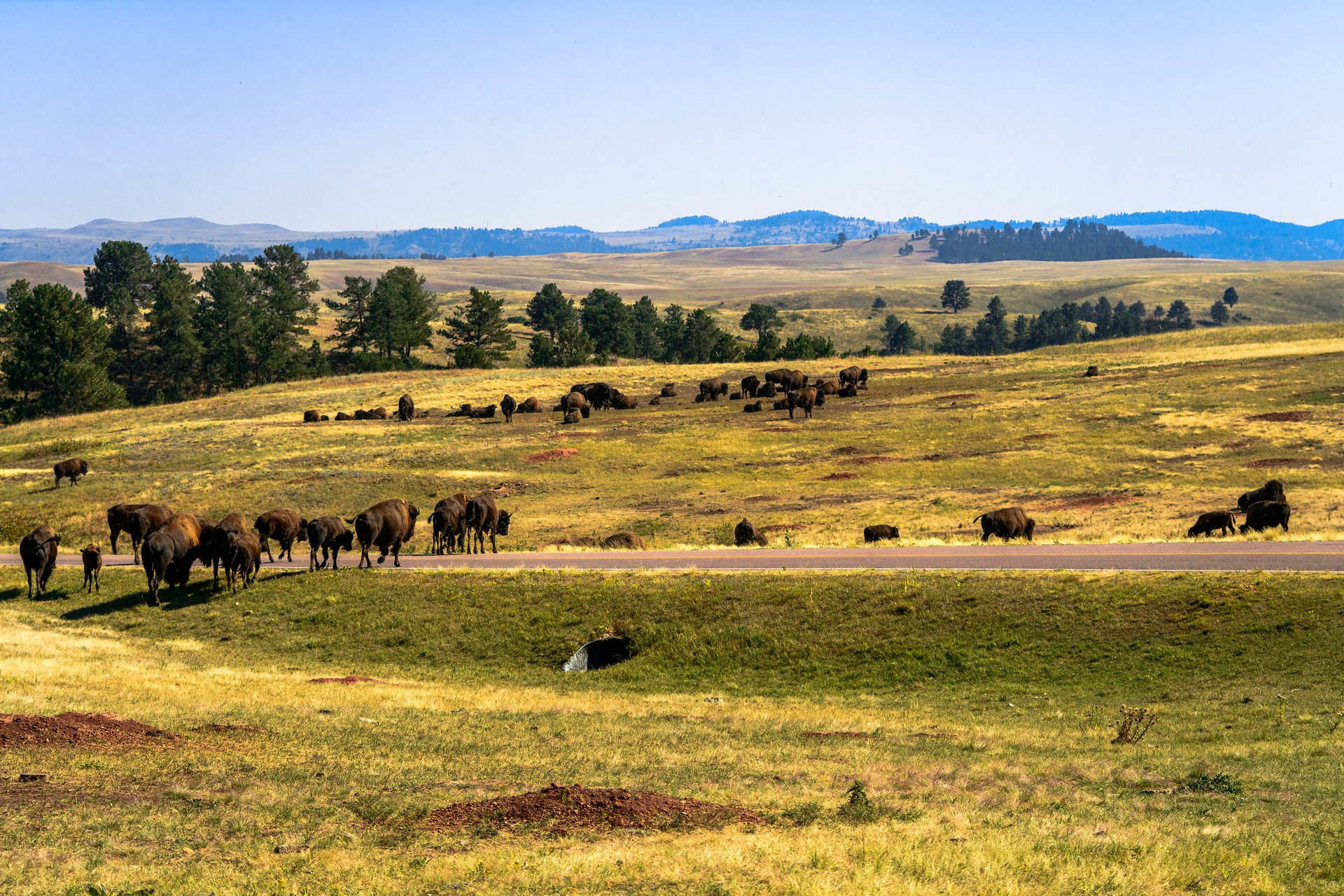 Bison Herd in Wind Cave National Park in South Dakota 2020 - Best Time