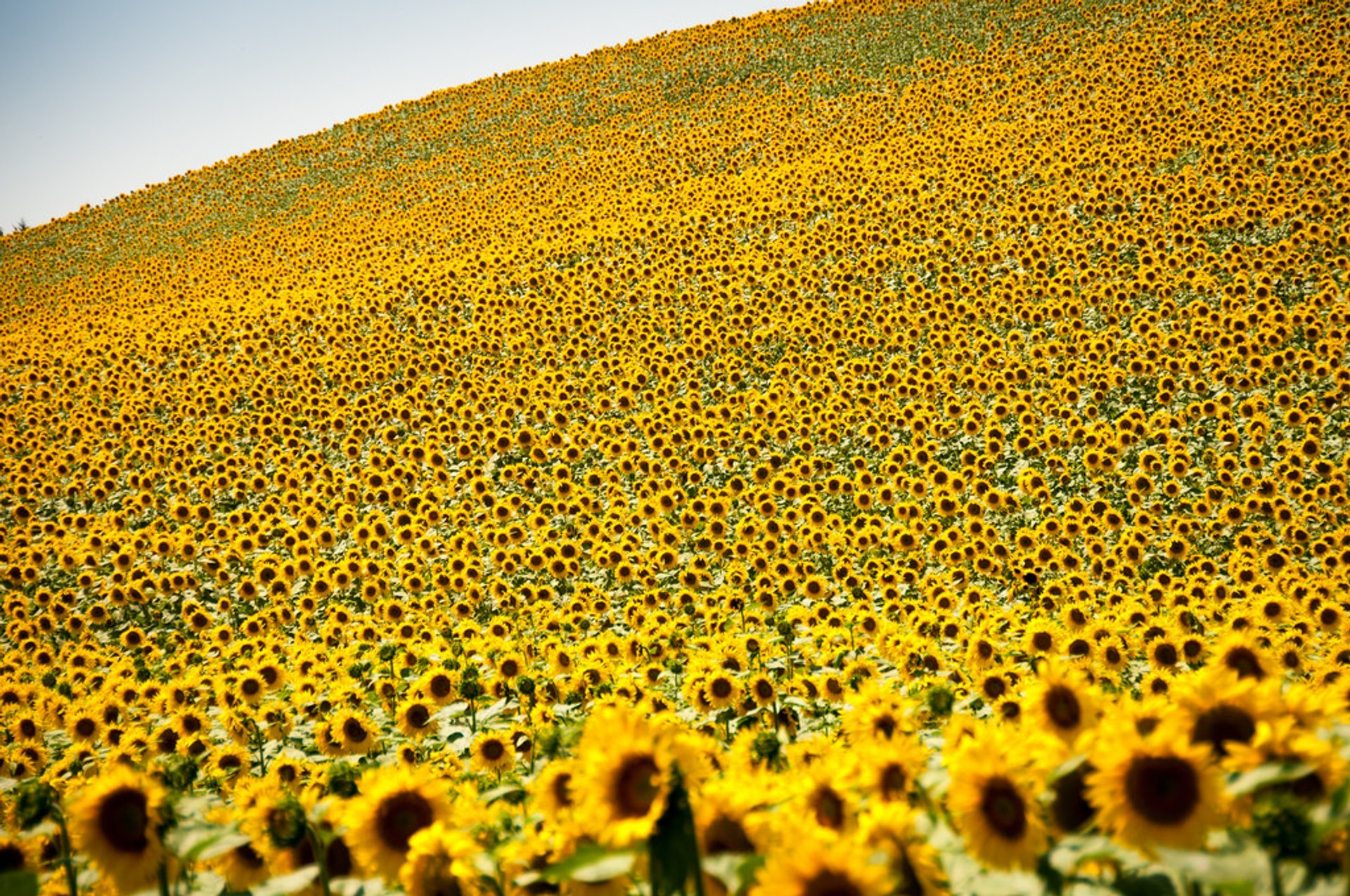 Sunflowers in Gers, Midi-Pyrénées, France 2020