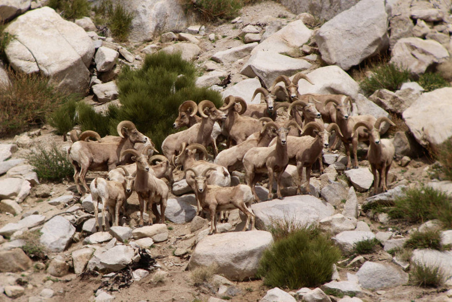 Sierra Nevada Bighorn Sheep in Yosemite 2019 - Best Time