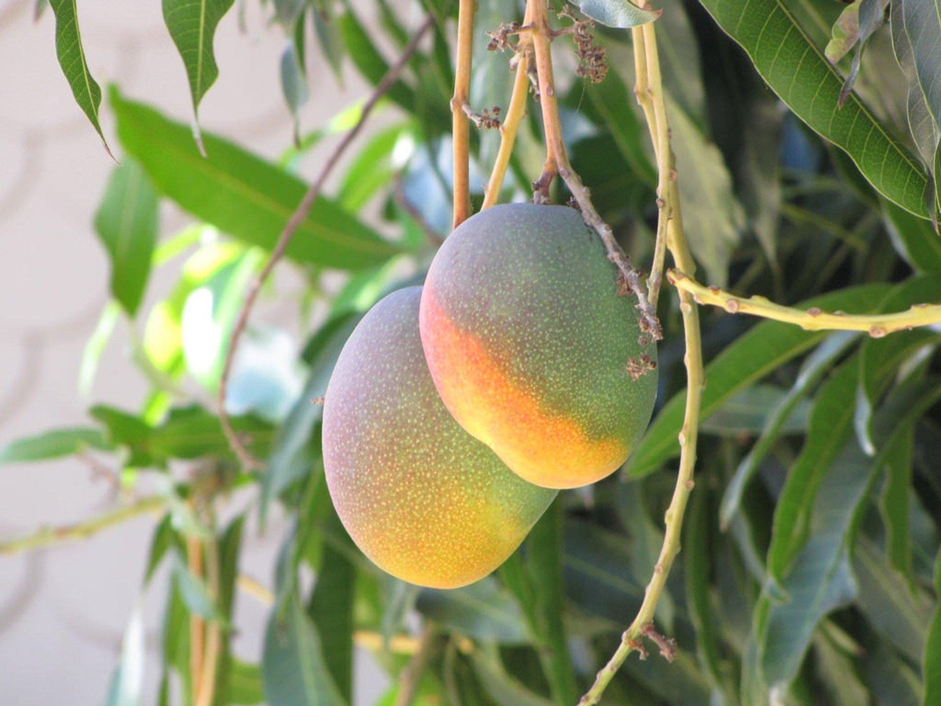 Mango in Hawaii 2020 - Best Time