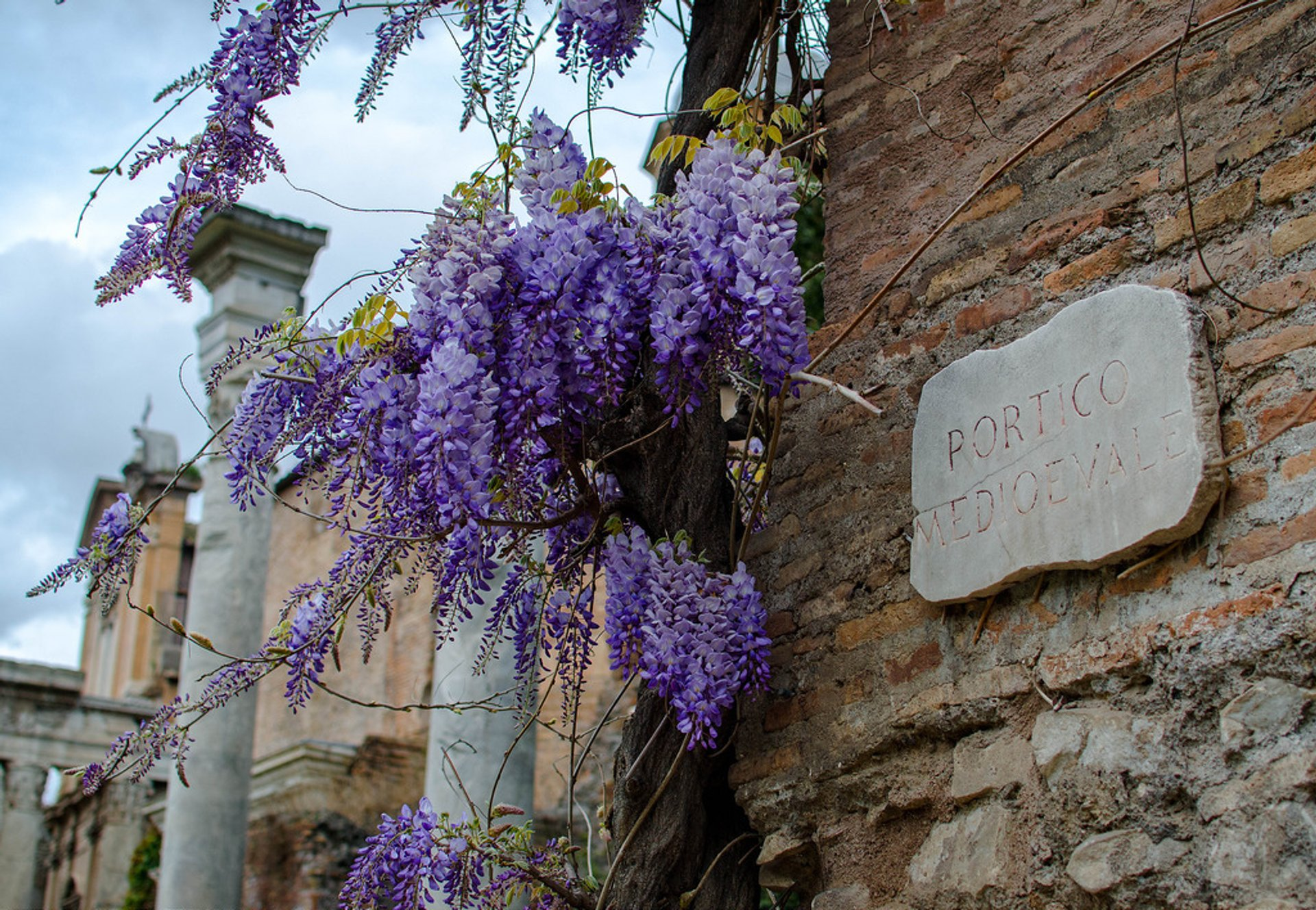 Wisteria in Bloom in Rome - Best Season