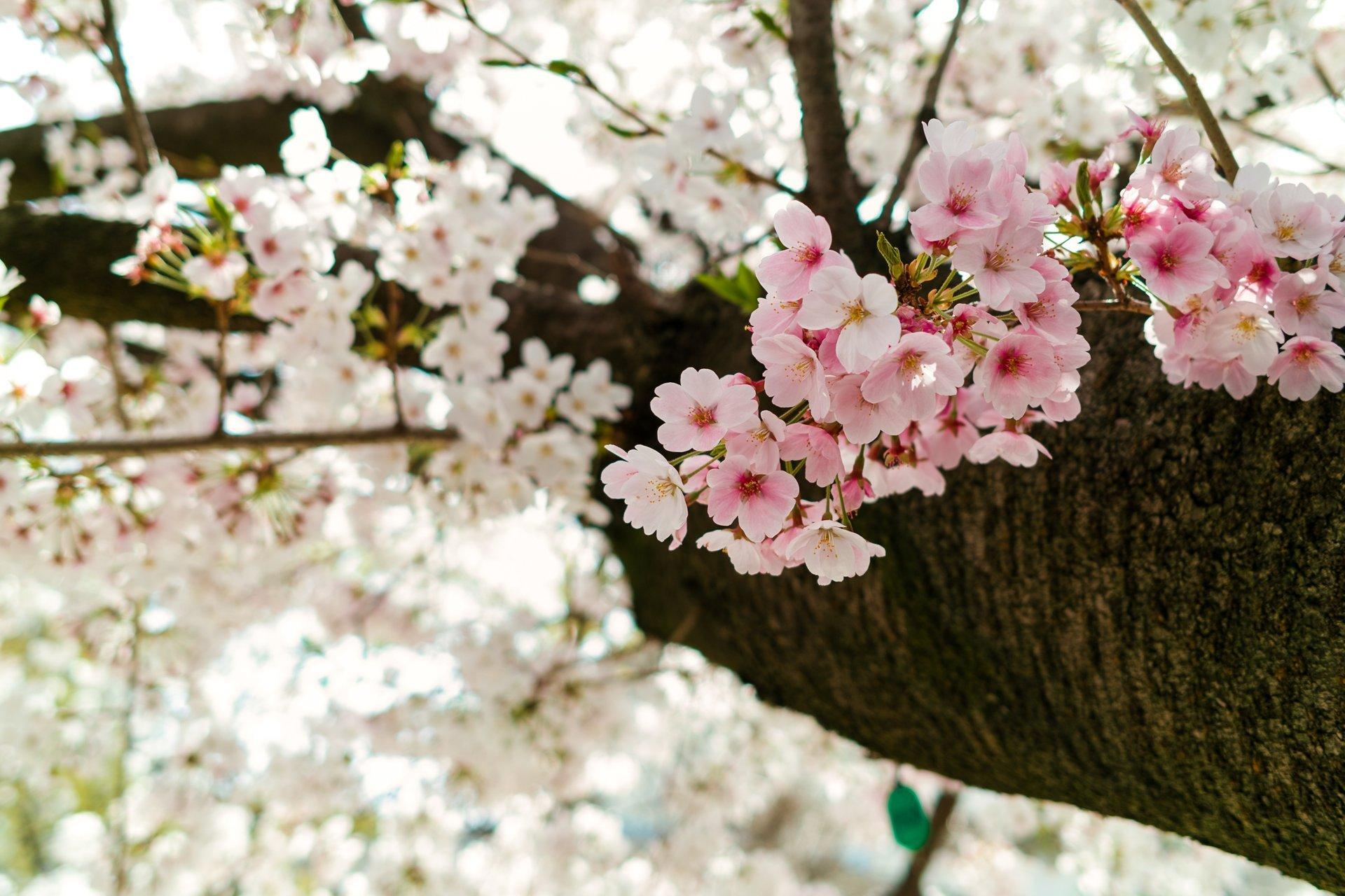 Sakura in Ueno 2020