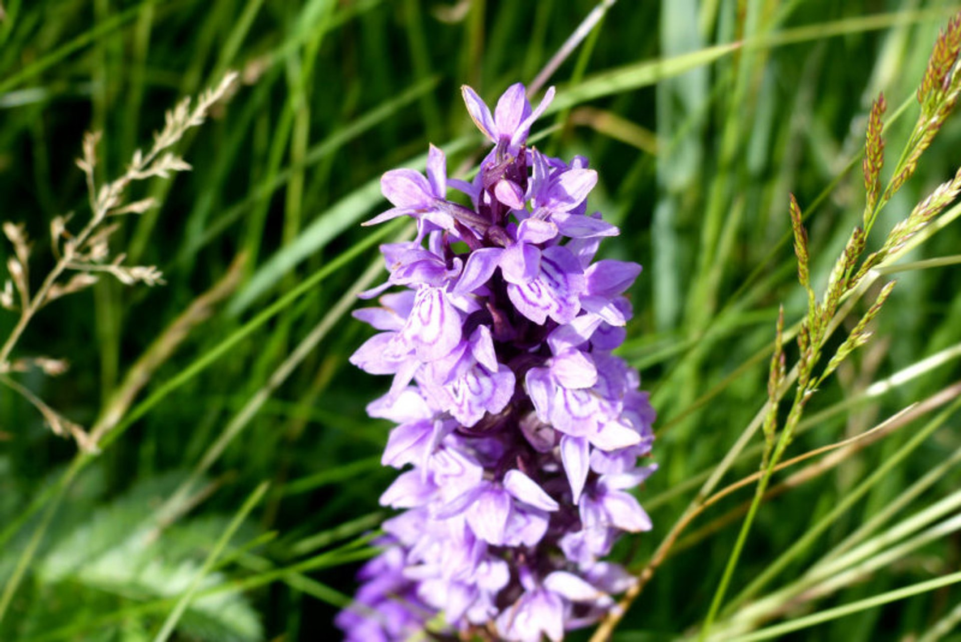 Orchids at  Lauwersmeer in The Netherlands 2020 - Best Time