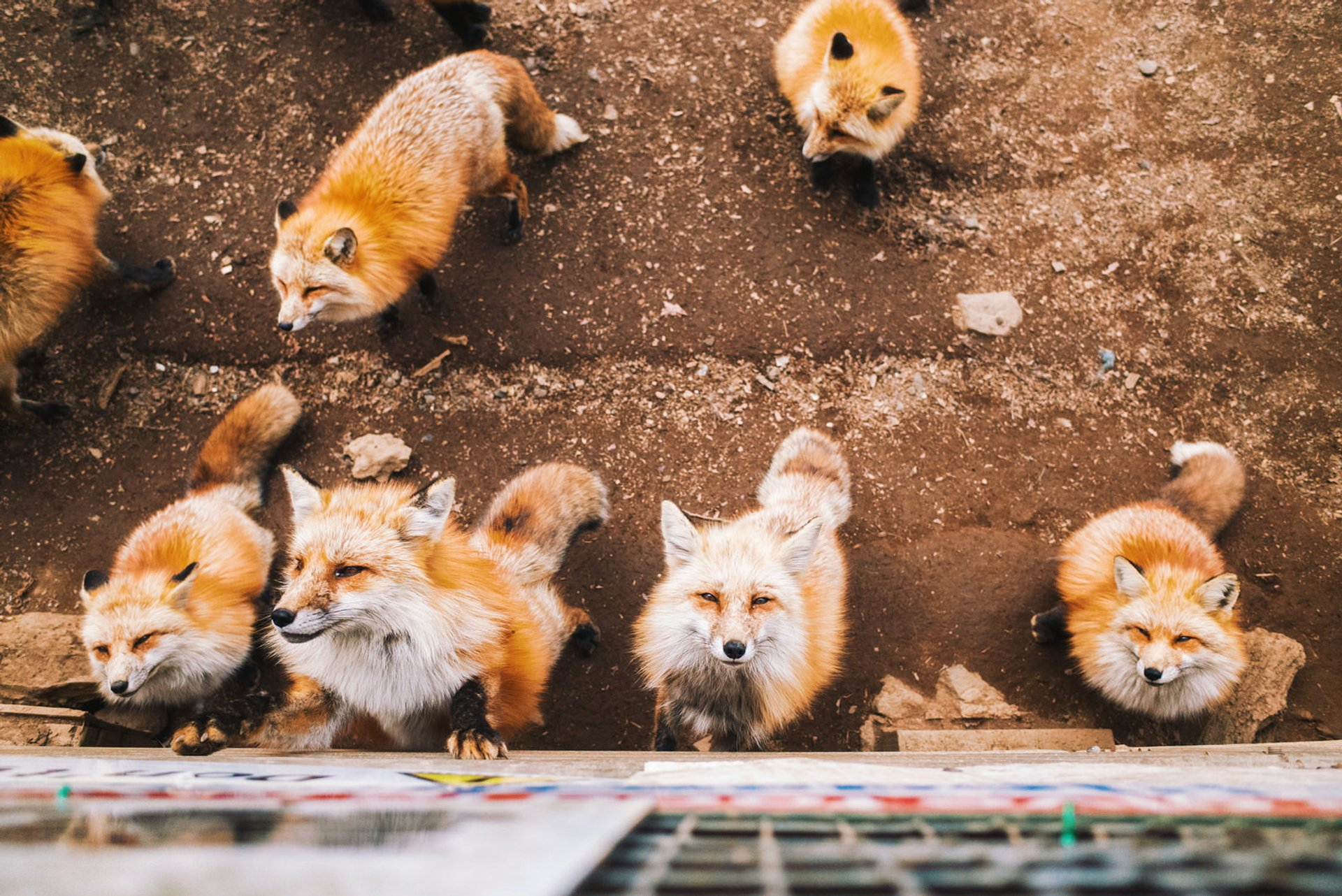 Zao Fox Village in Japan 2019 - Best Time