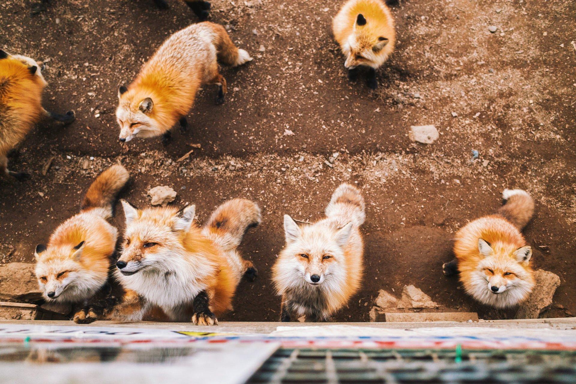 Zao Fox Village in Japan - Best Time