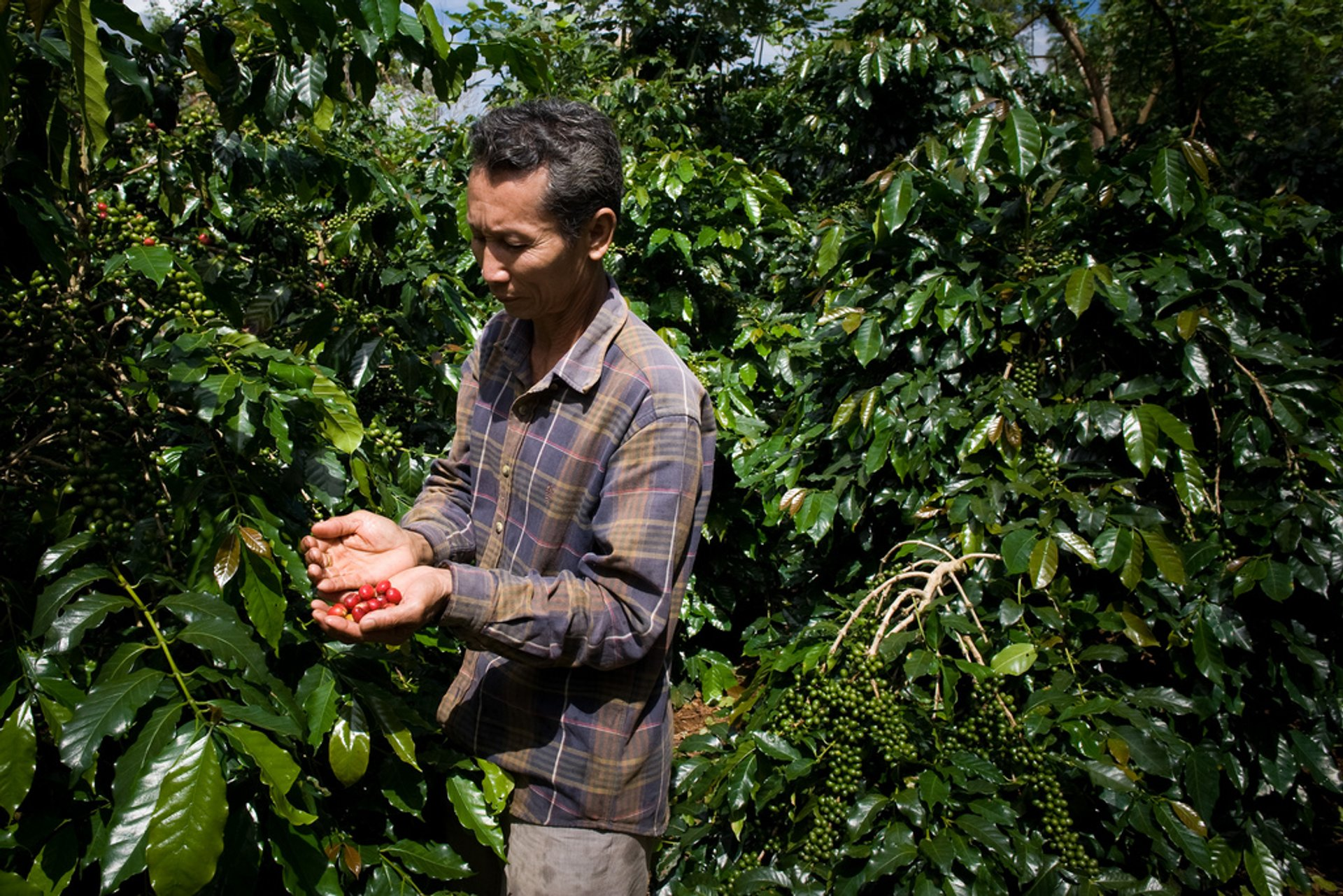 Coffee Harvest in Laos 2019 - Best Time
