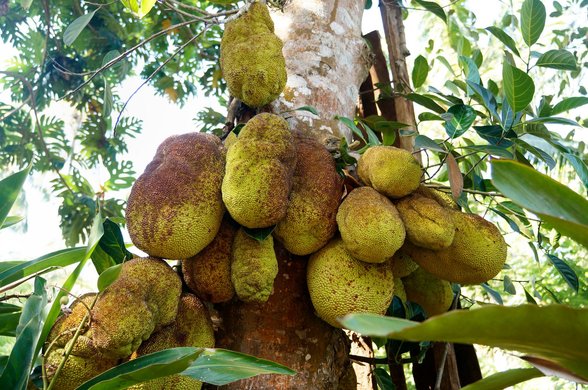 Breadfruit and Jackfruit in Zanzibar - Best Time