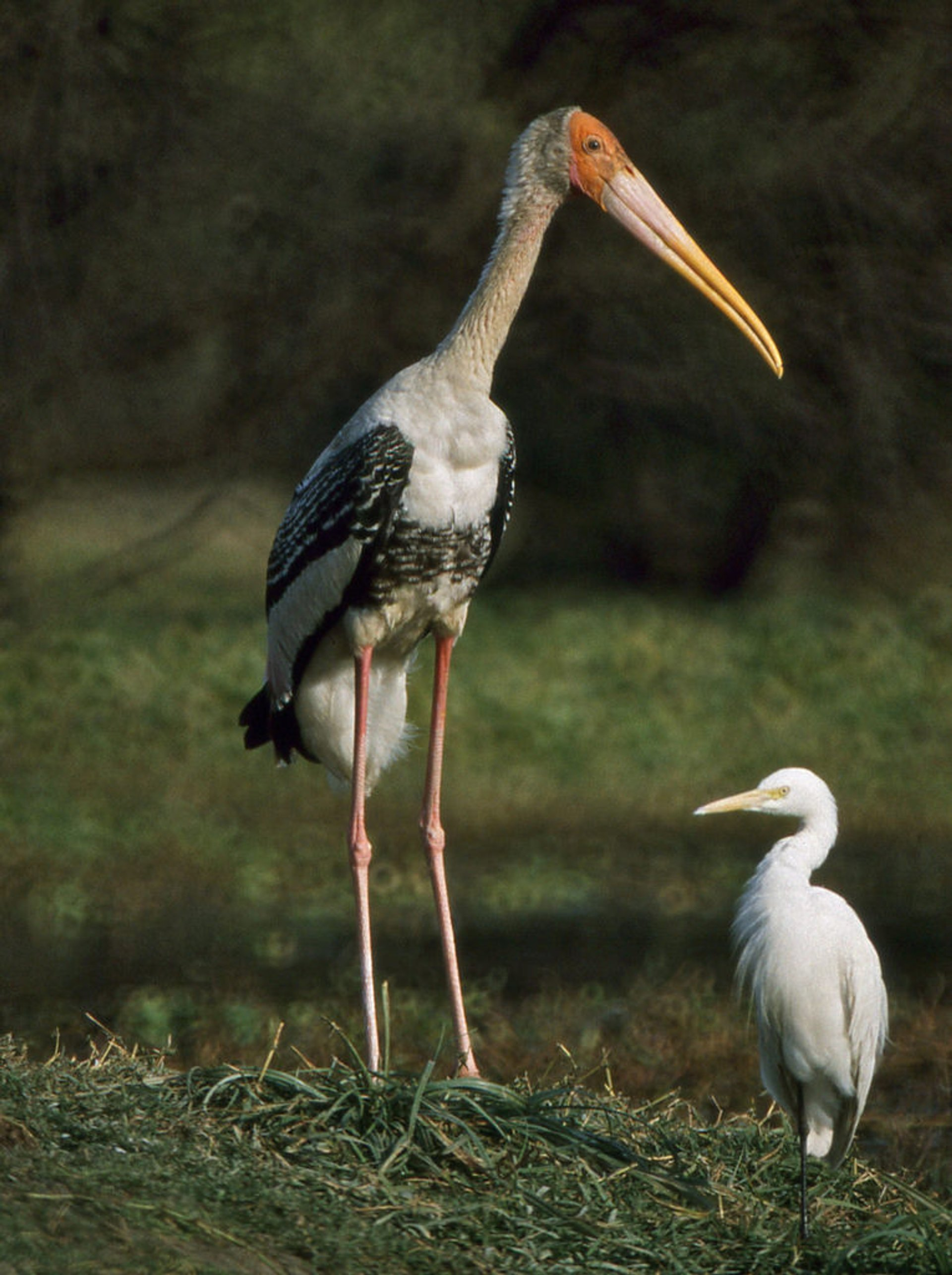 Painted Stork and Intermediate Egret  2020