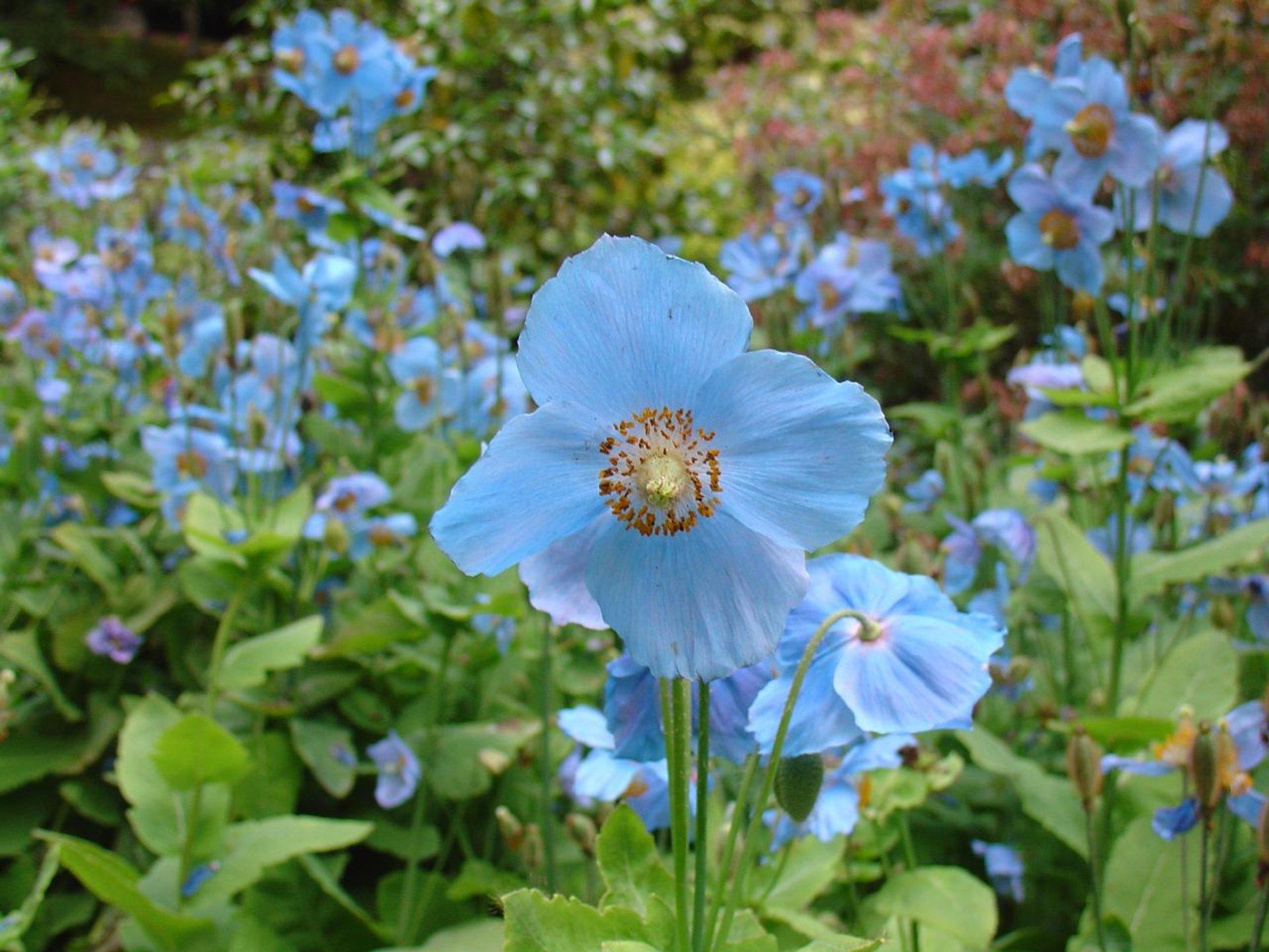 Himalayan Blue Poppy in Bhutan 2020 - Best Time