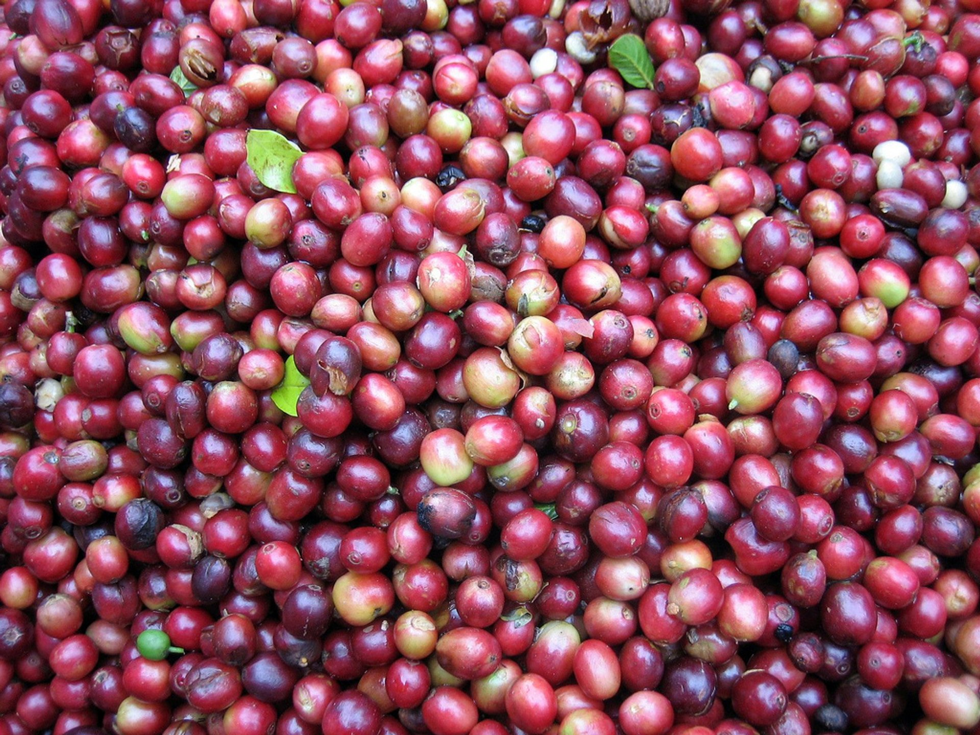 Best time for Coffee Harvest in Laos 2020