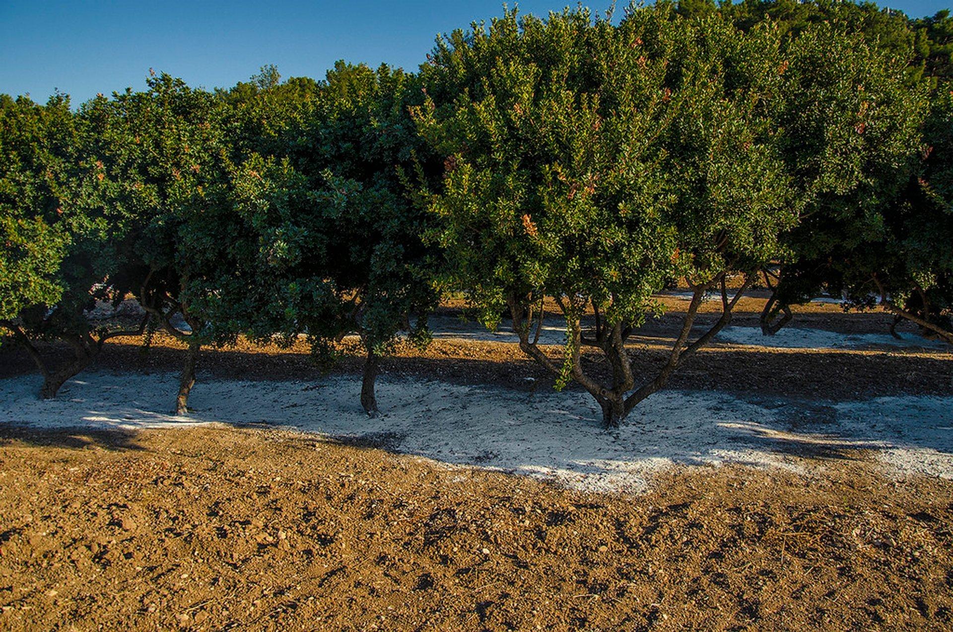 Mastiha trees 2020