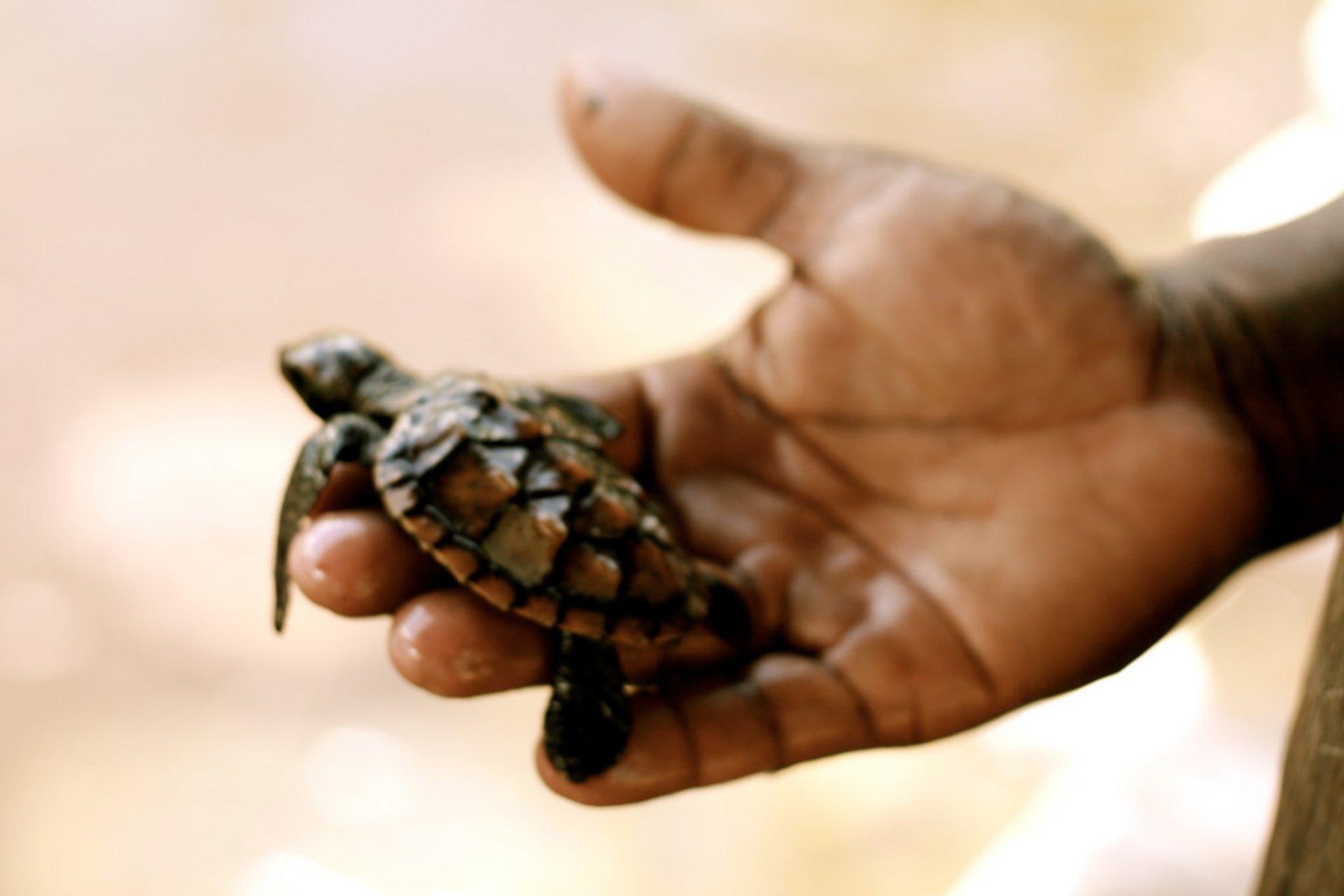 Marine Turtle Nesting Season in Zanzibar 2020 - Best Time