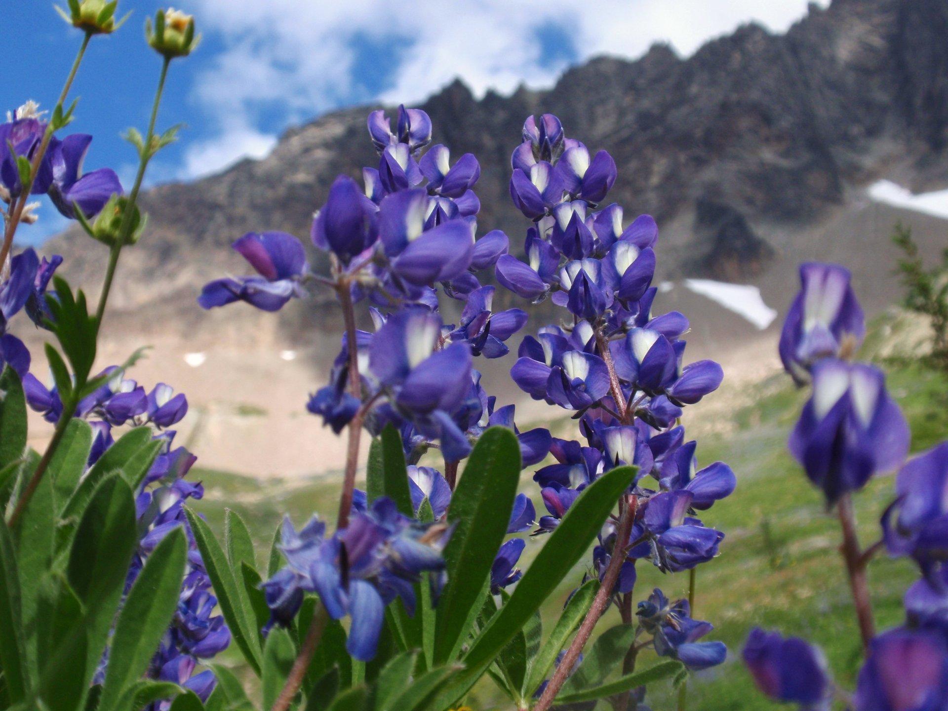 Lupine Bloom in Washington 2020 - Best Time