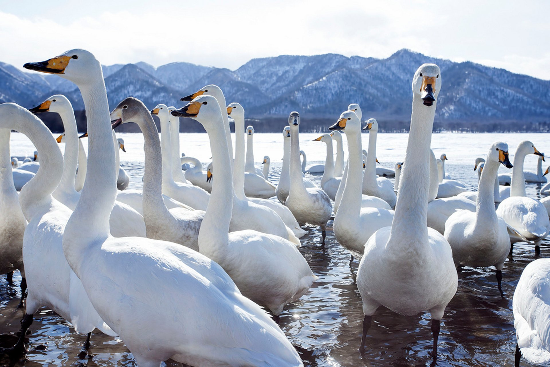Whooper Swans at Lake Kussharo in Japan 2019 - Best Time