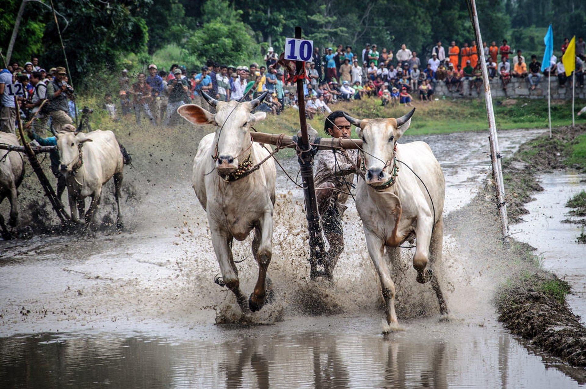 Cow Racing Festival in Vietnam 2020 - Best Time