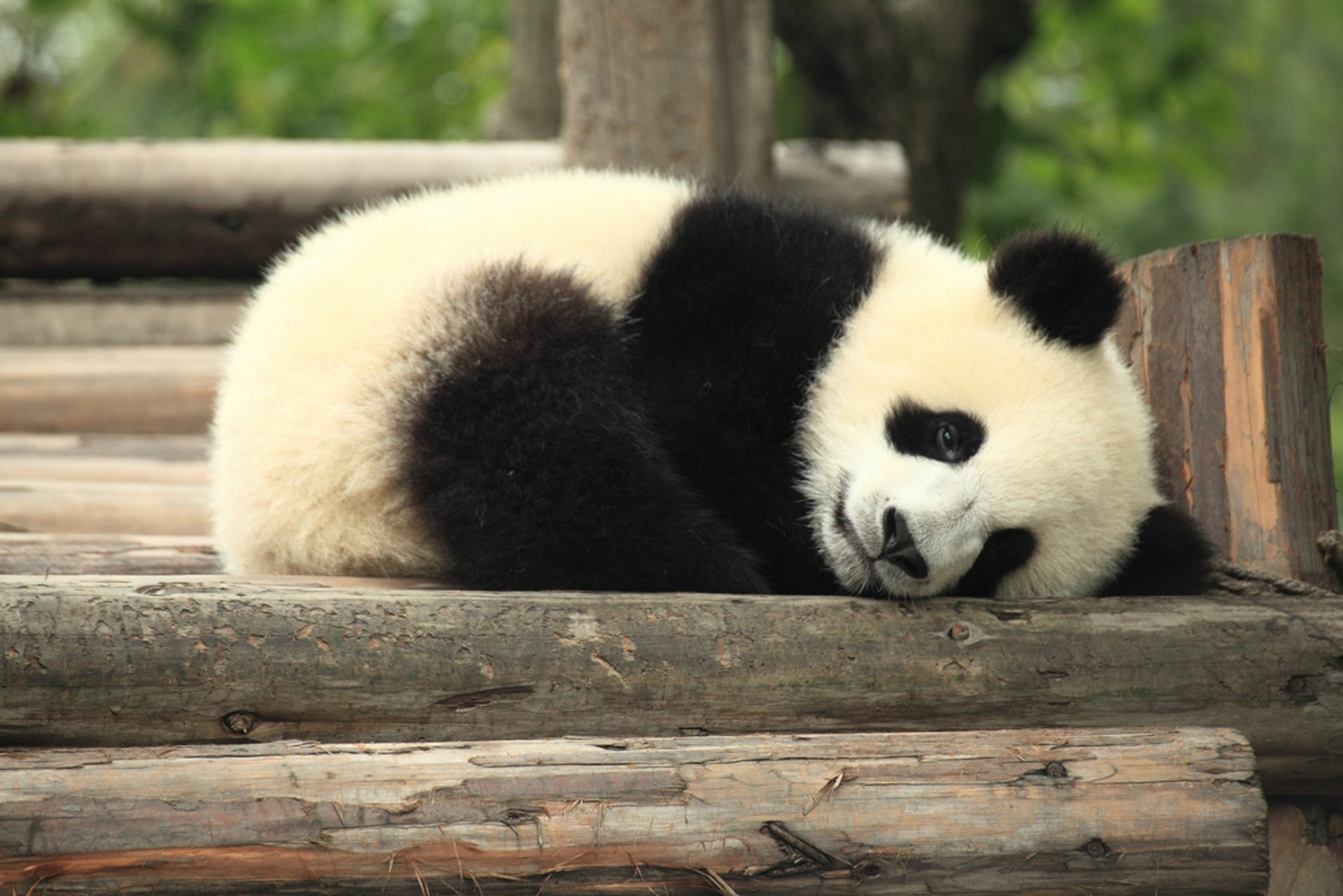 Giant Pandas in China 2020 - Best Time