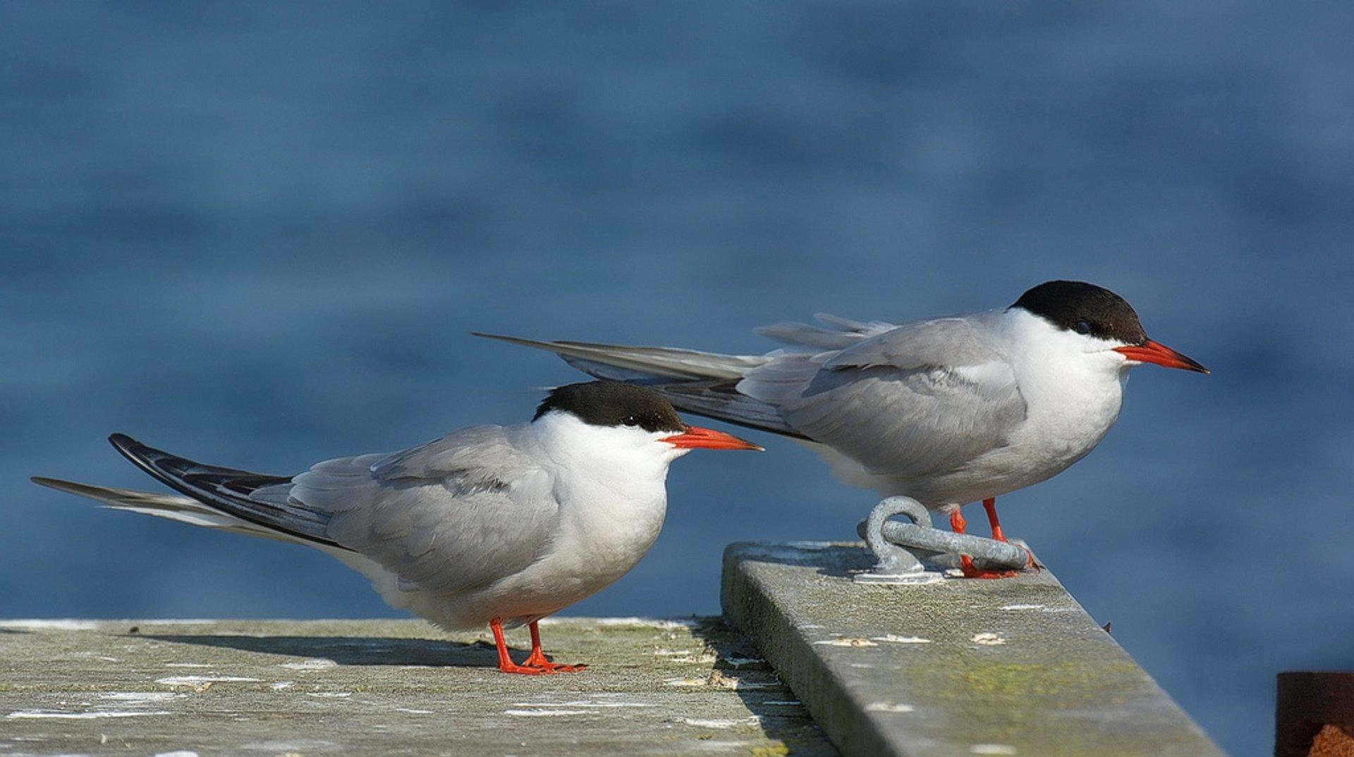Common Tern 2020