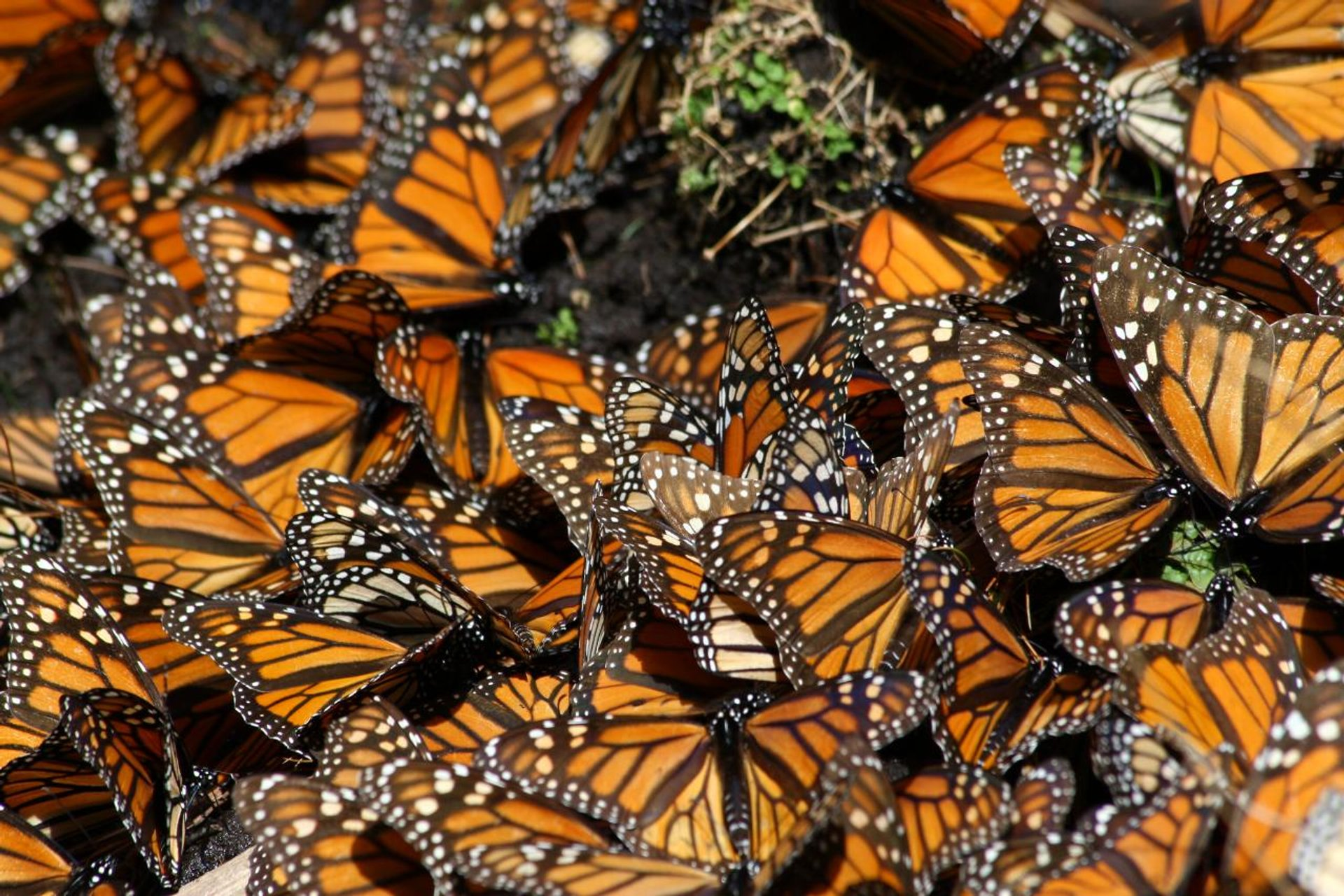 Monarch Butterfly Migration in Mexico - Best Time