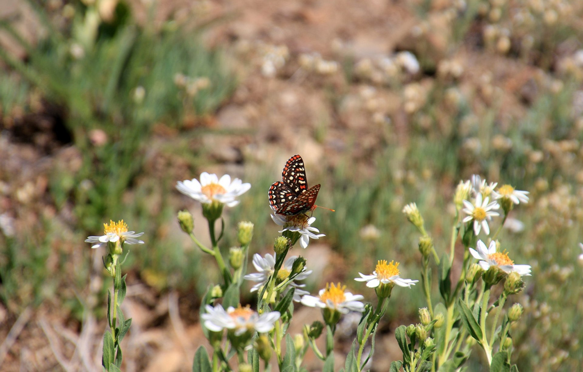 Edith's Checkerspot Butterfly at Mt. Olympic National Park
