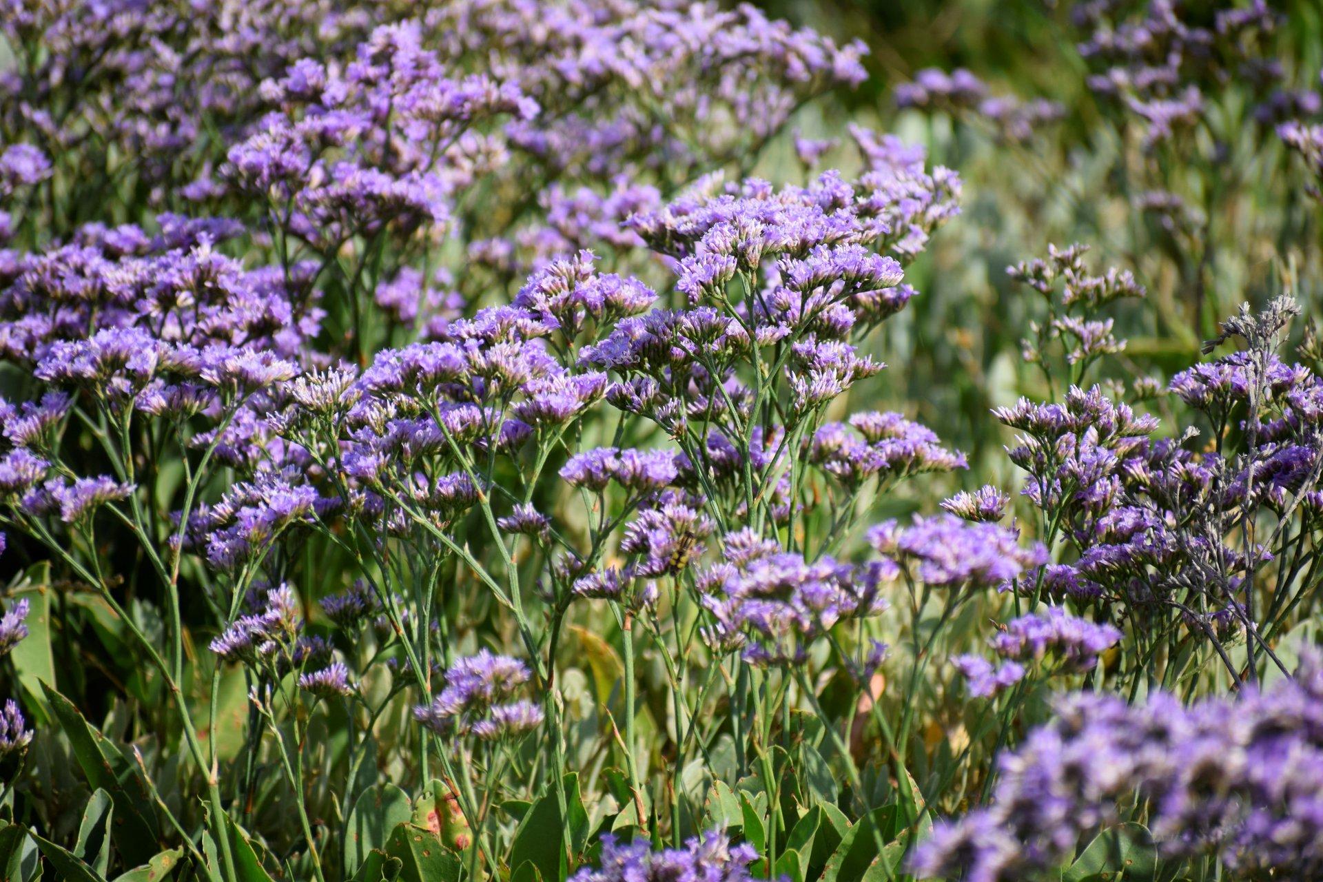 Best time for Sea Lavender (Lamsoor) in the Zwin in Belgium 2020